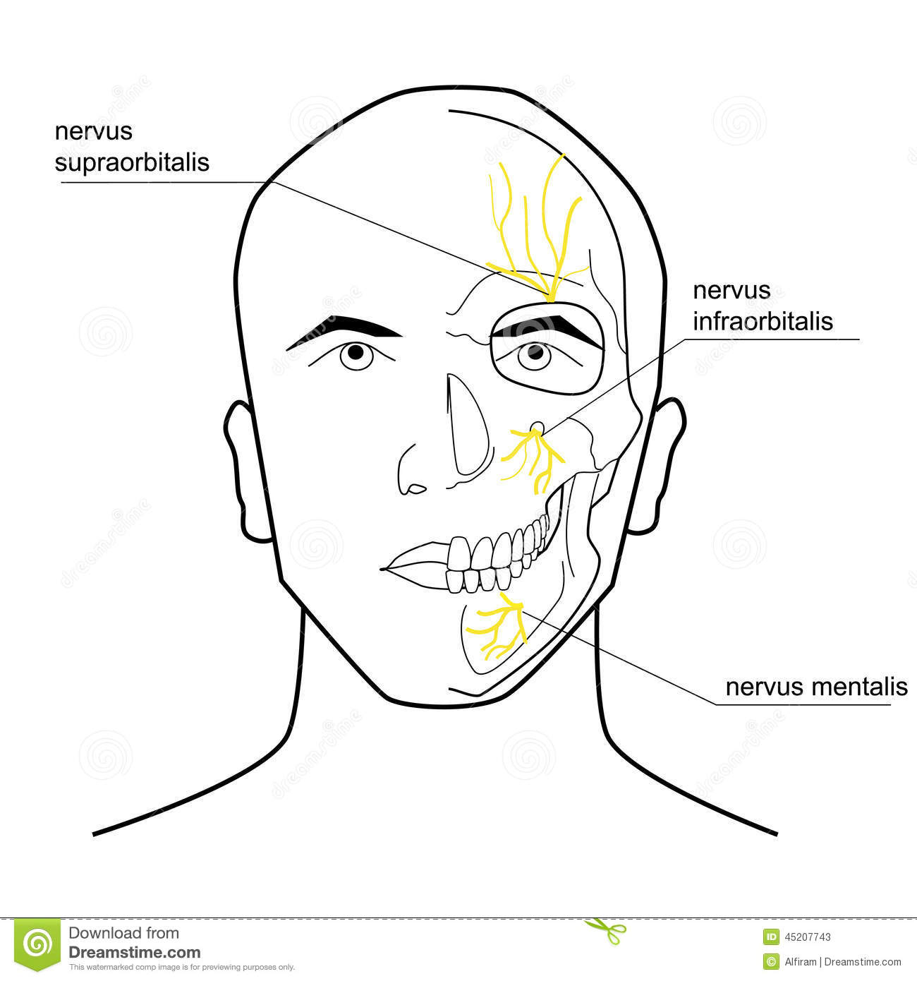 Nerves Of The Head Stock Vector Illustration Of Face
