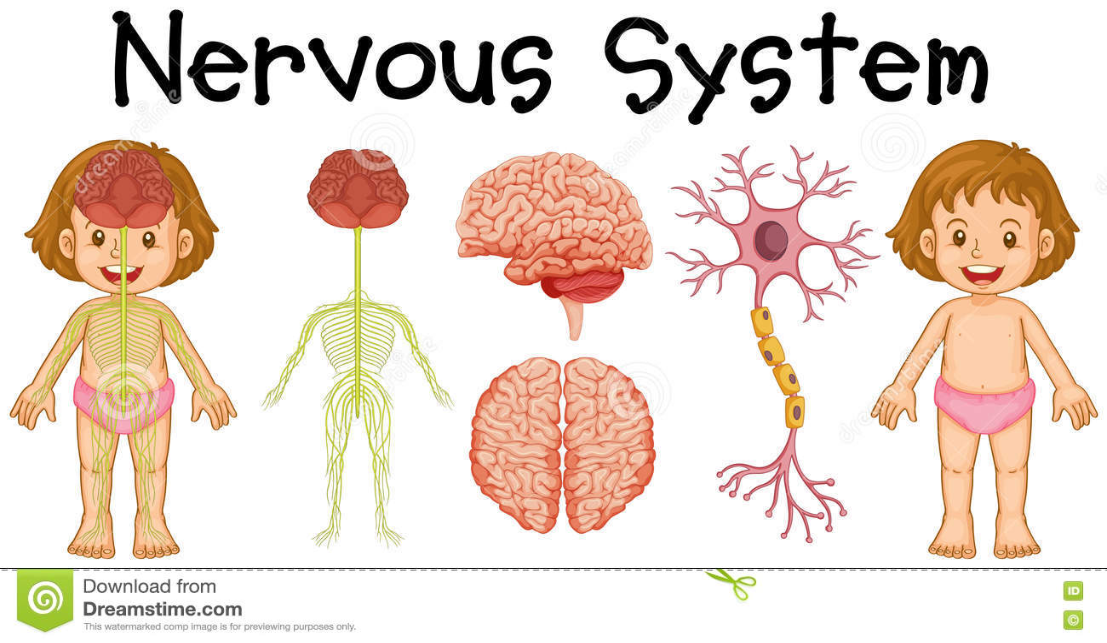 Nervous System Of Little Girl Stock Vector