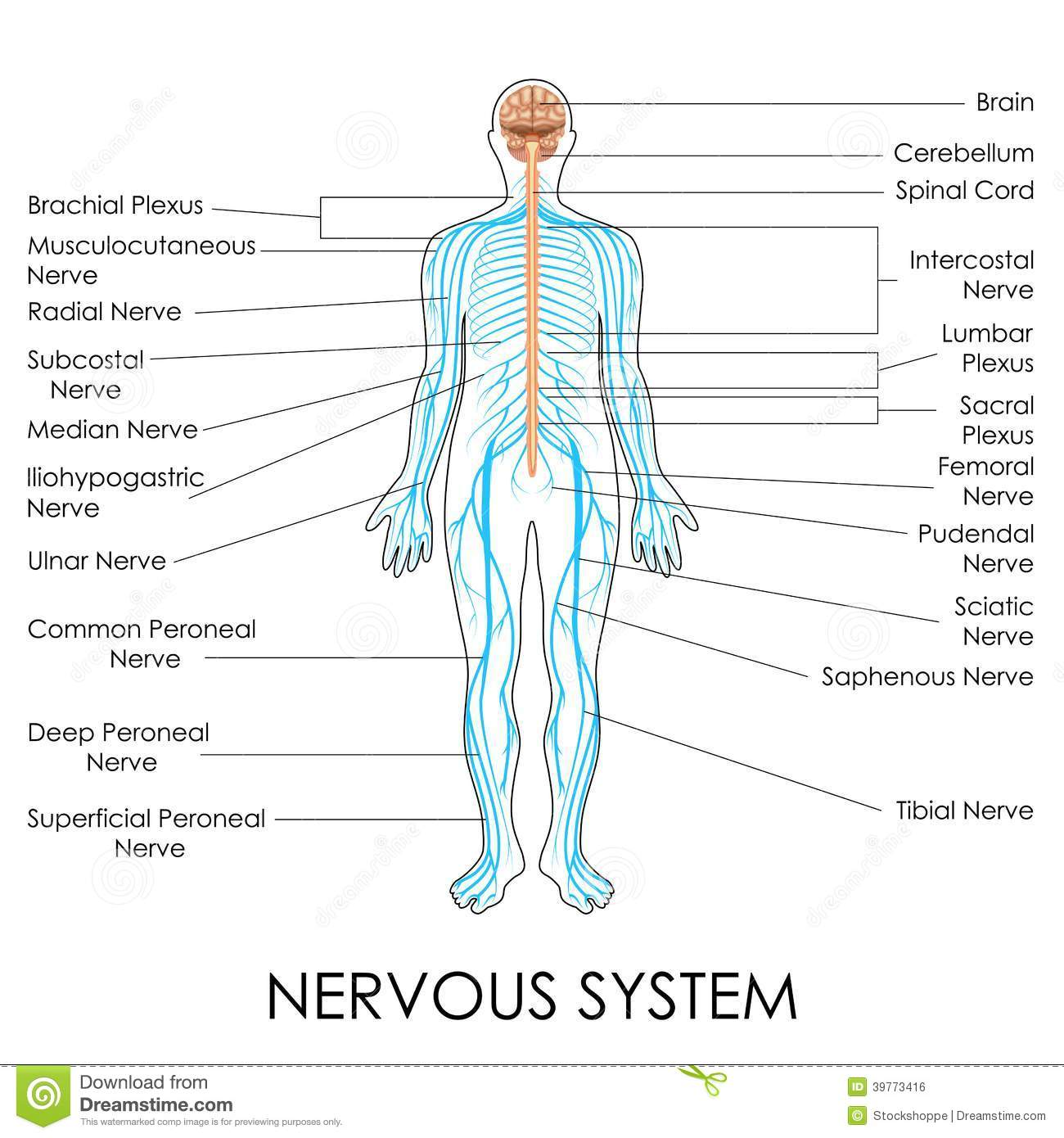 Nervous System Stock Vector Image Of Neuron Education