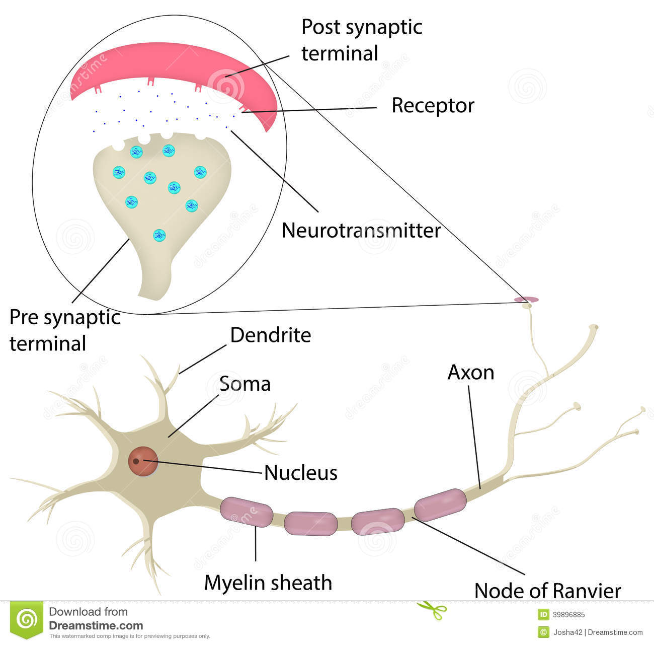 Motor Neuron Cell Diagram