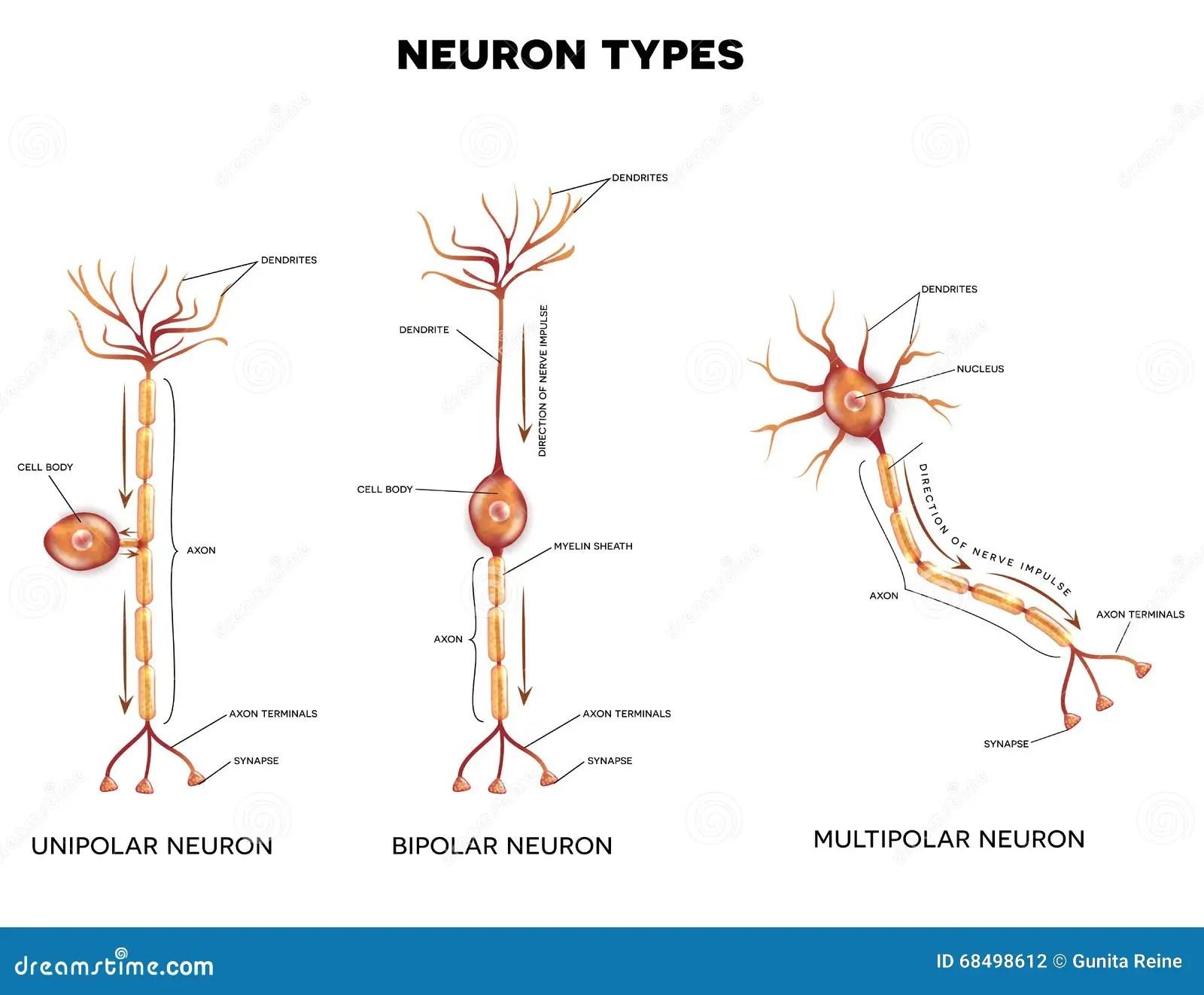 Neuron Types Stock Vector Illustration Of Illustration