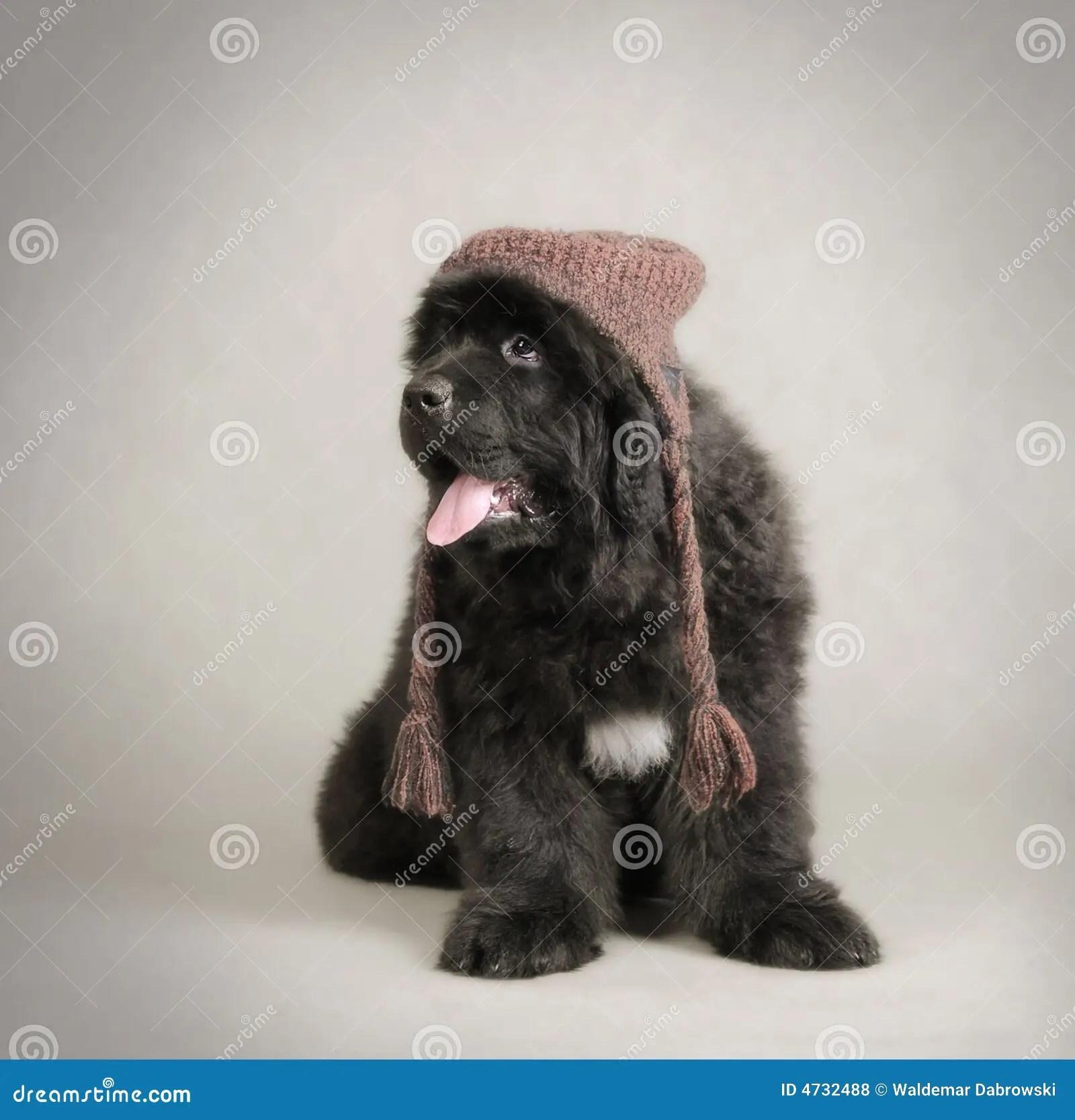 Newfoundland Dog Puppy Royalty Free Stock Photos Image