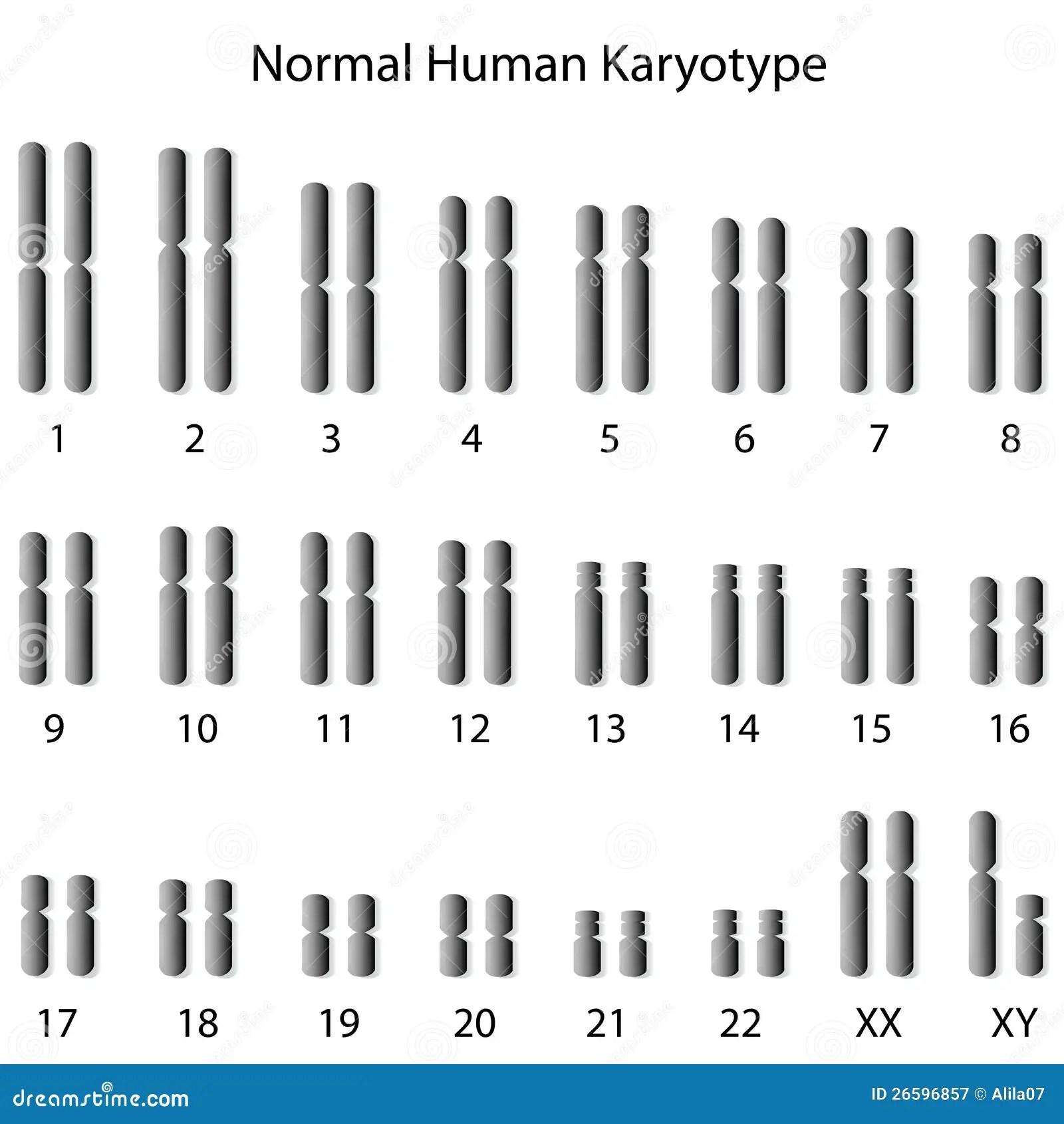 Normales Menschliches Karyotype Vektor Abbildung