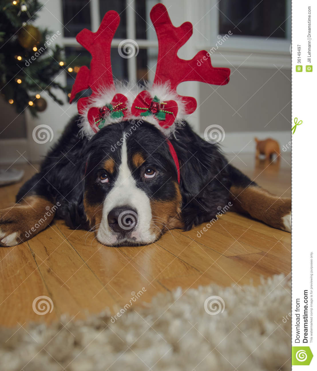A Bernese Mountain Dog Wears Antlers On Christmas Royalty