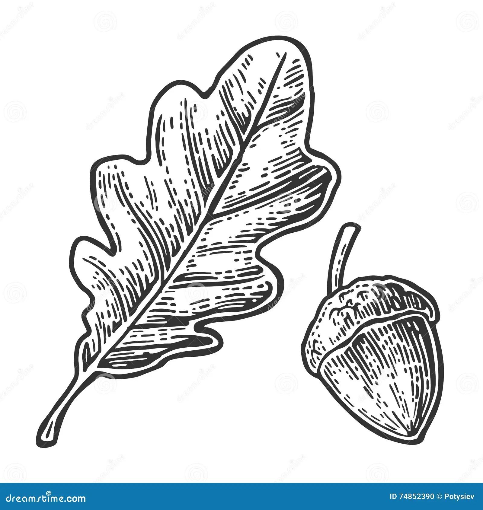 Oak Leaf And Acorn Vector Vintage Engraved Illustration