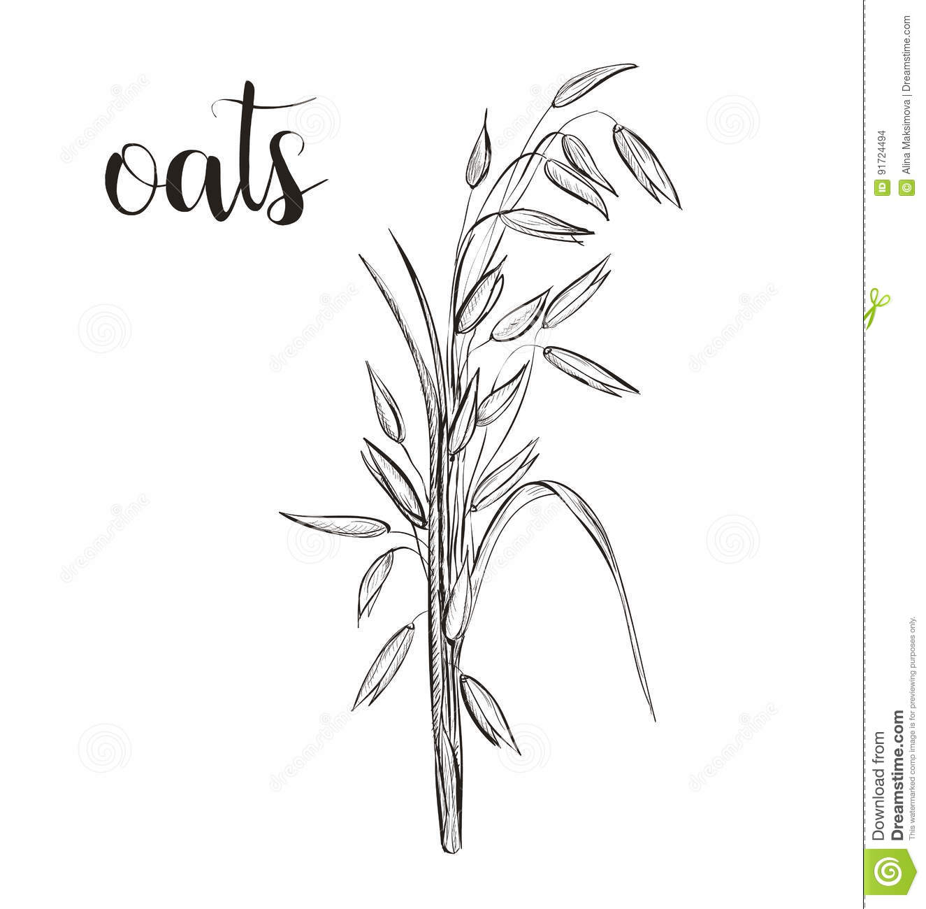 Oats Sketch Hand Drawing Vector Stock Vector
