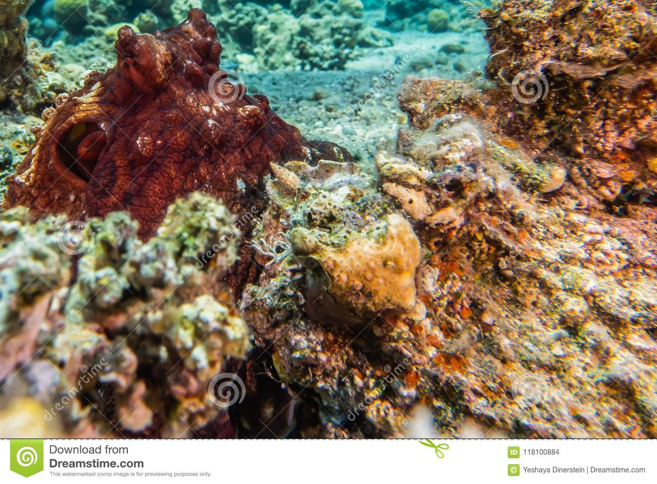 Octopus King Of Camouflage In The Red Sea Eilat Israel