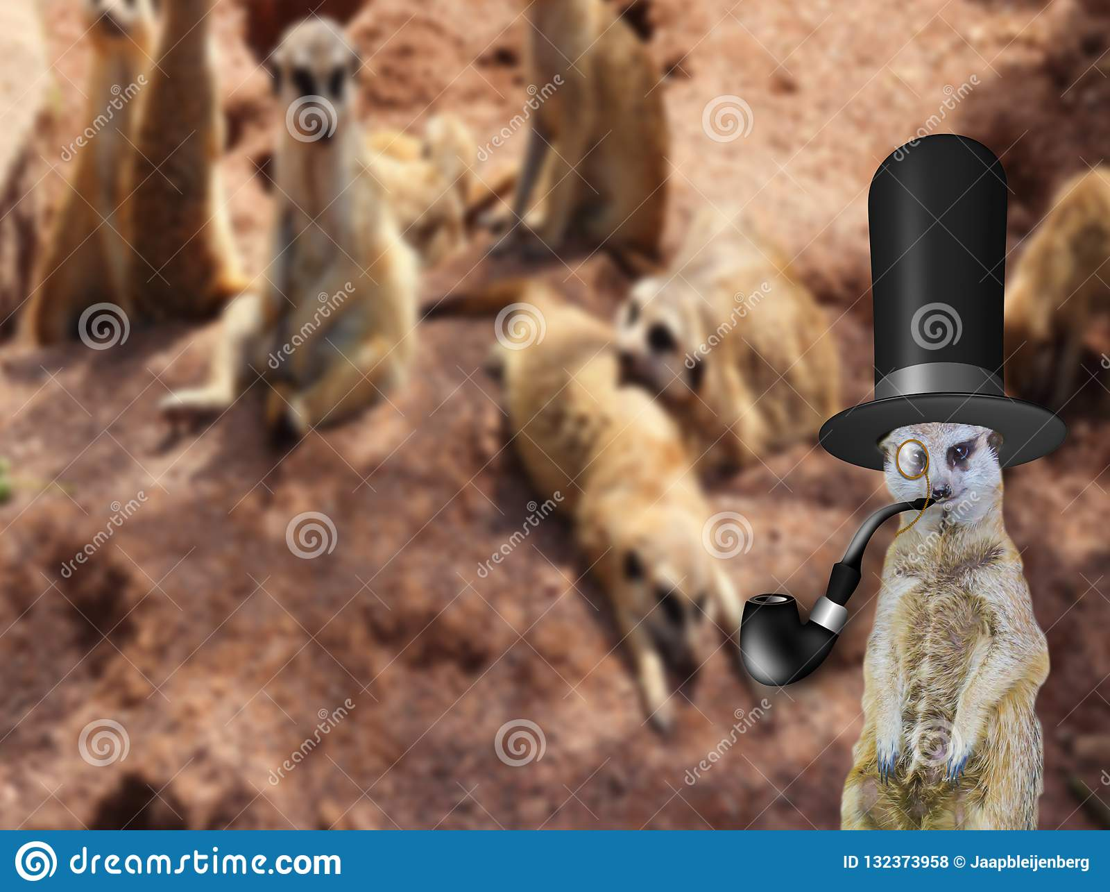 The Odd One Out A Old English Posh Gentlemen Meerkat