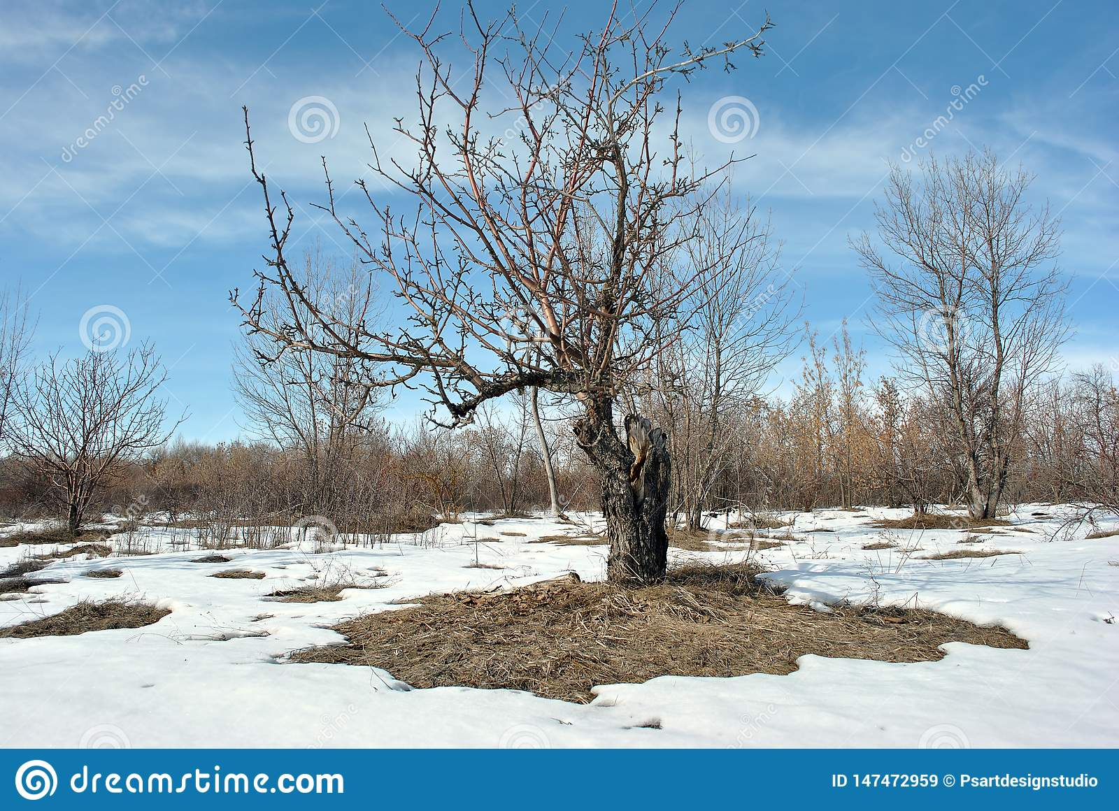 Old Apple Tree Without Leaves On Snowy Meadow With Bushes