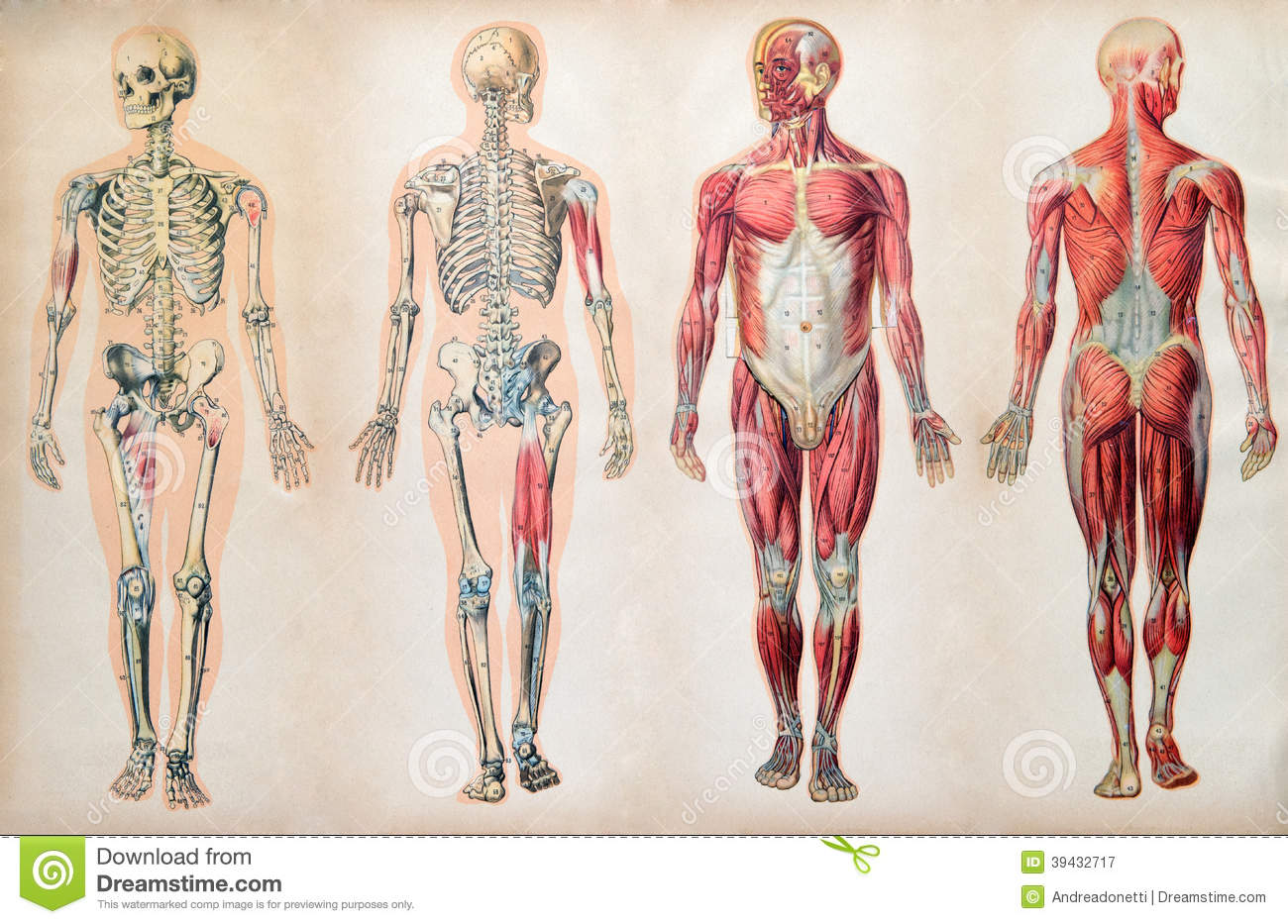 Skeletal Muscle Tissue Examples