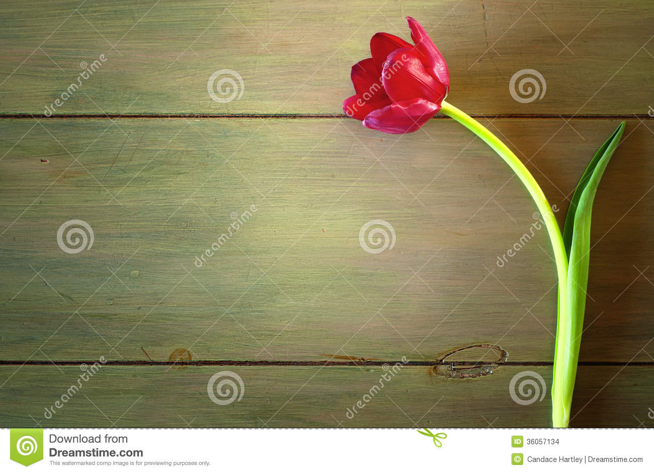 One Red Tulip In Dramatic Lighting On Rustic Wood