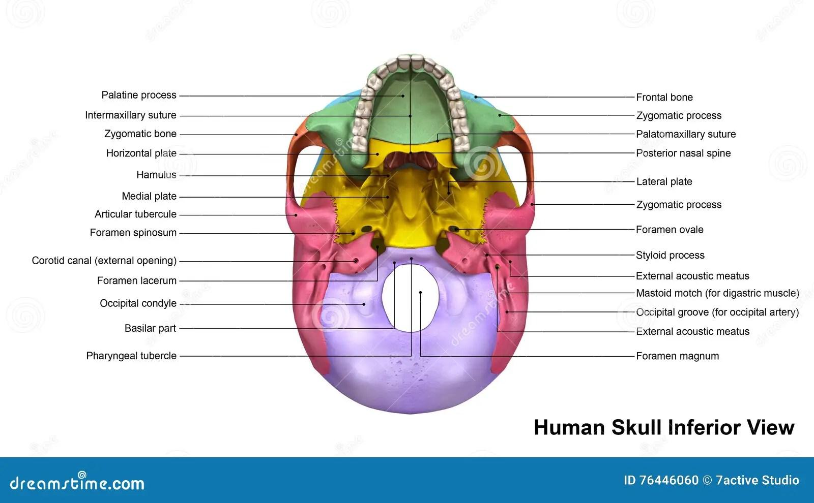 Opiniao Do Inferior Do Cranio Ilustracao Stock
