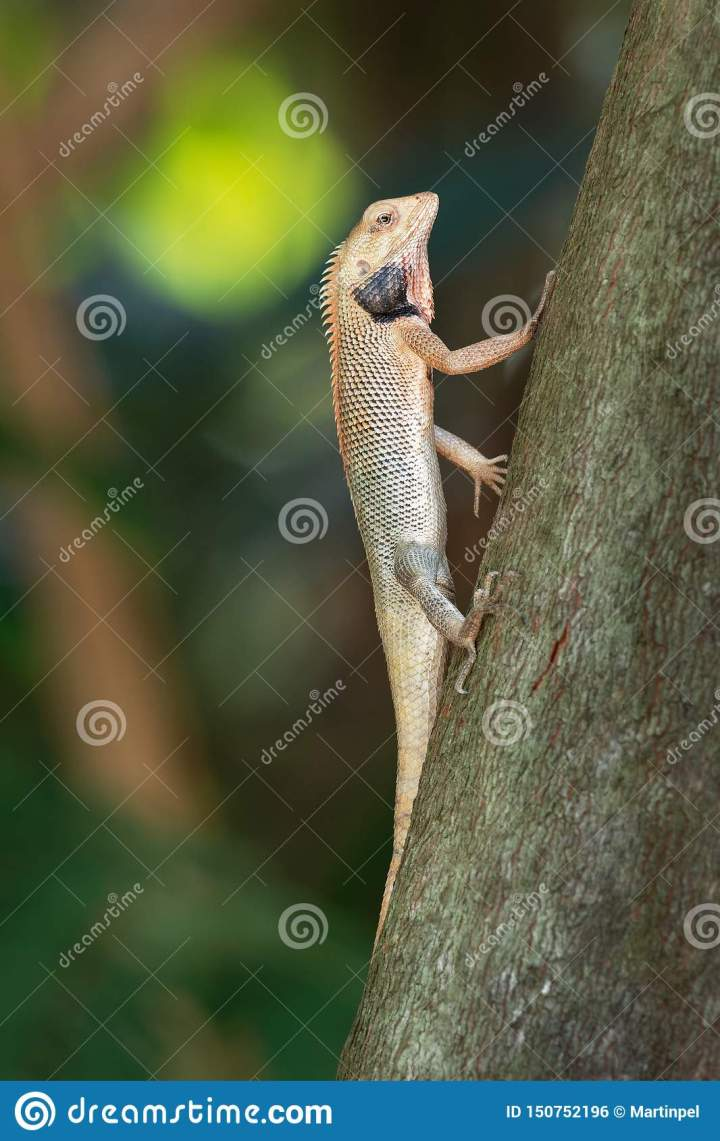 oriental garden lizard - calotes versicolor or eastern