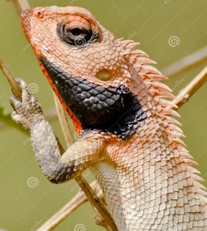 an oriental golden lizard stock photo. image of lizard