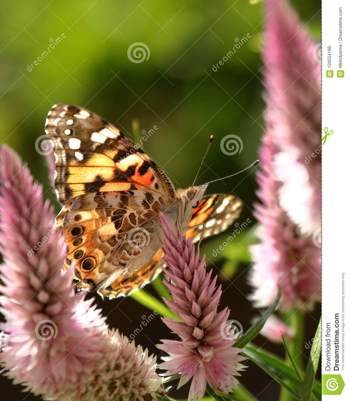 Painted Lady Butterfly Stock Photo Image Of Cosmopolitan