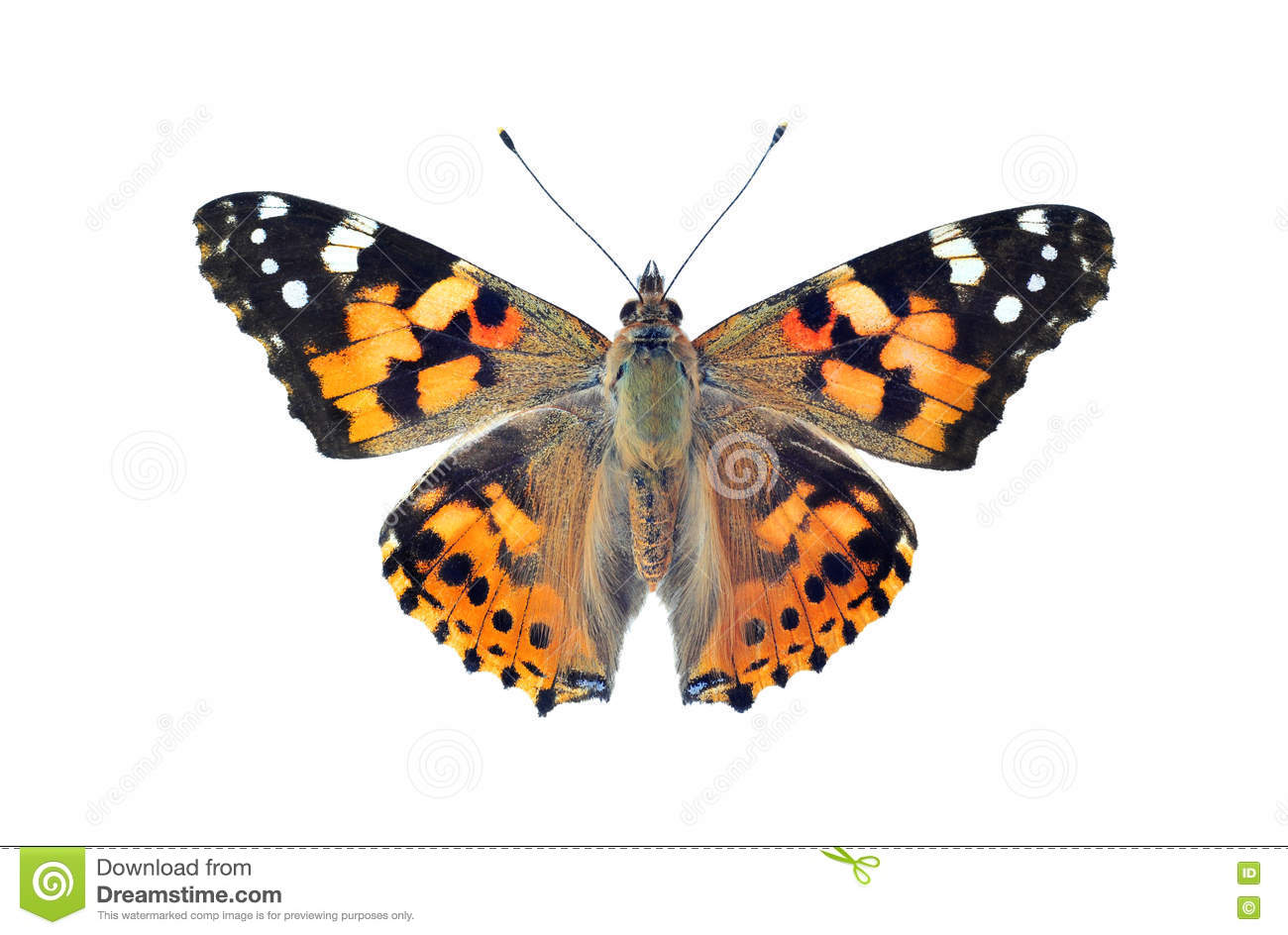 Painted Lady Butterfly Isolated On White Stock Image