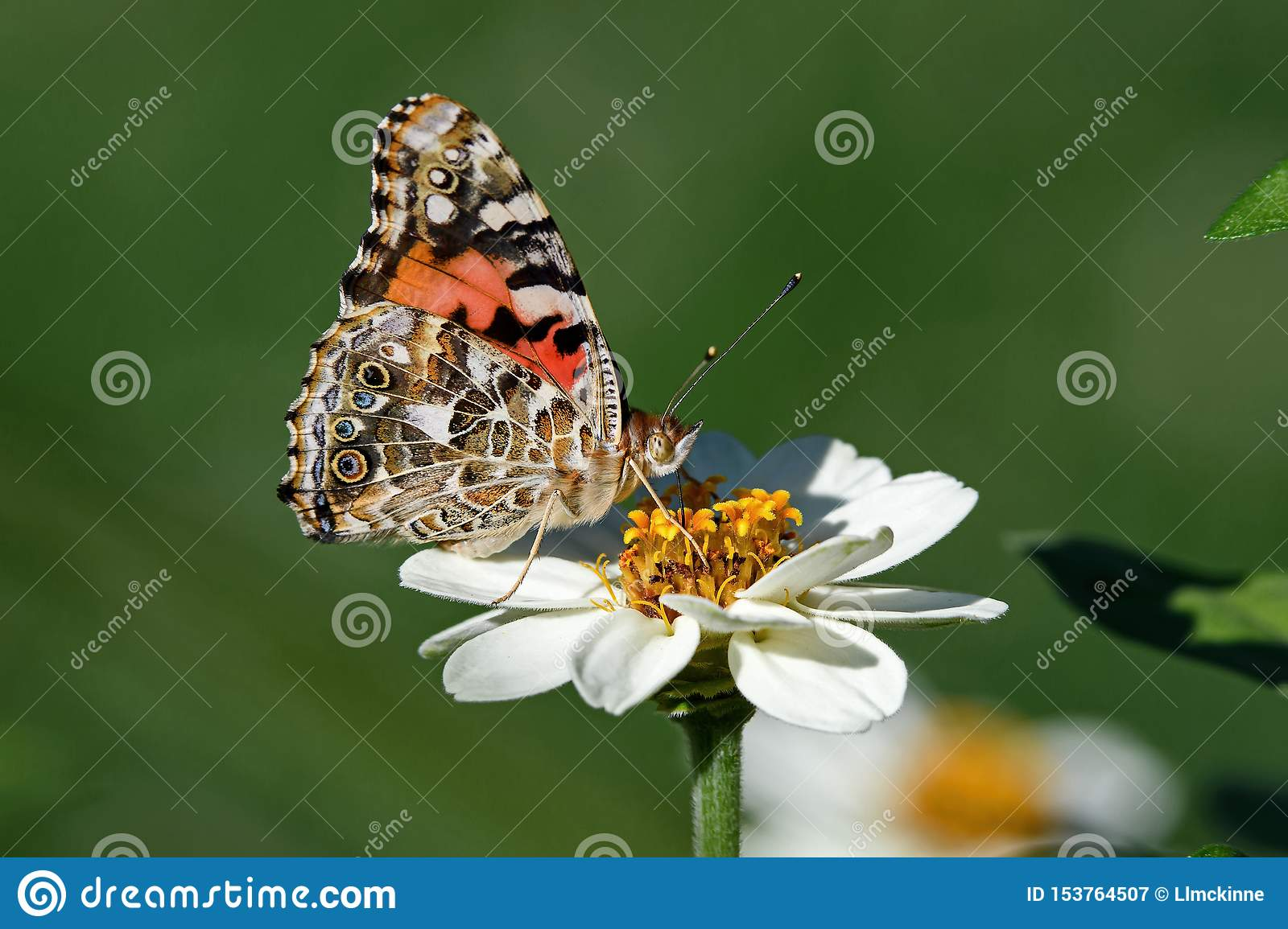 Painted Lady Or Vanessa Cardui A Well Known Colorful