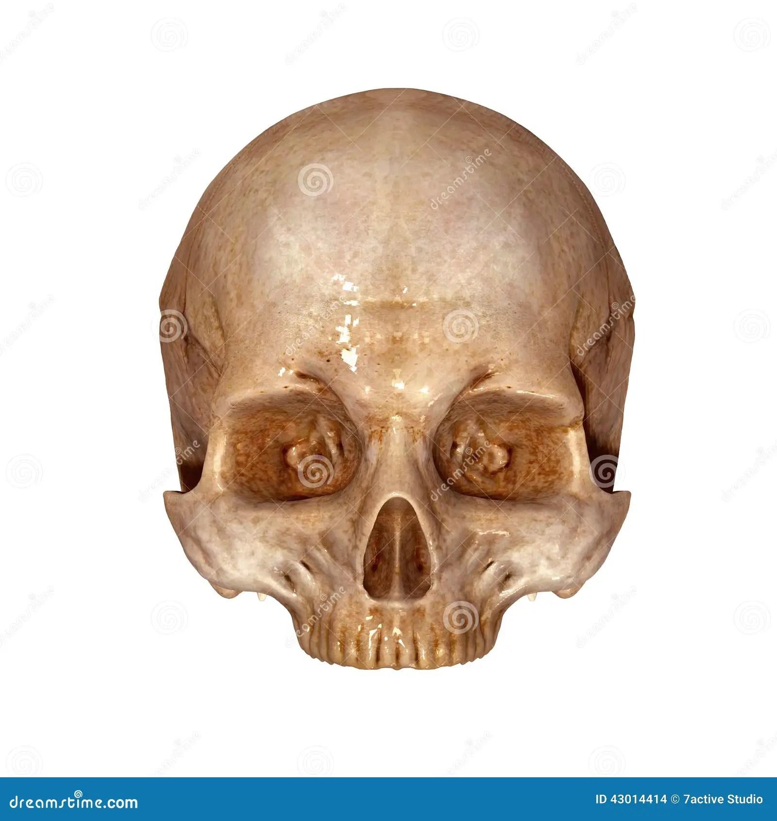 Parte Superior Do Cranio Humano Ilustracao Stock