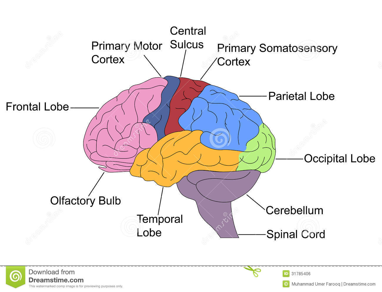 Parts Of Brain Stock Vector Illustration Of Labelled
