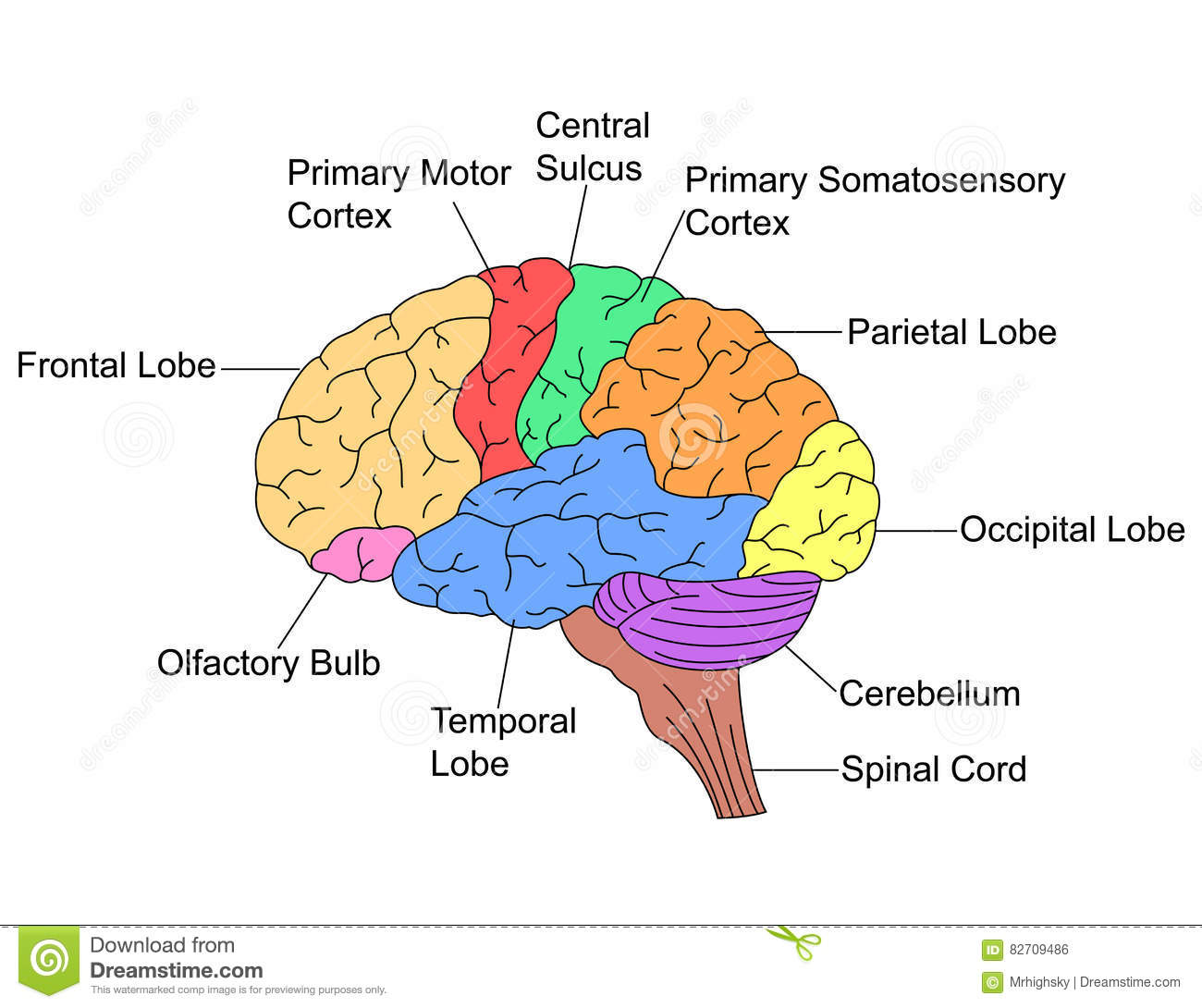 Parts Of Brain Stock Vector Illustration Of Medical