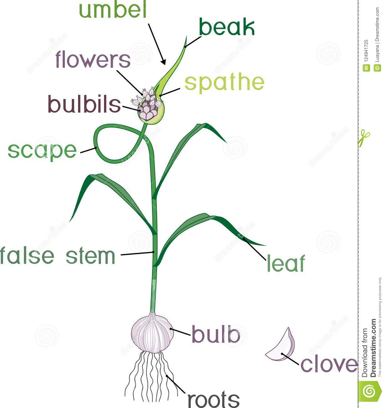 Parts Of Garlic Plant Morphology Of Plant With Titles