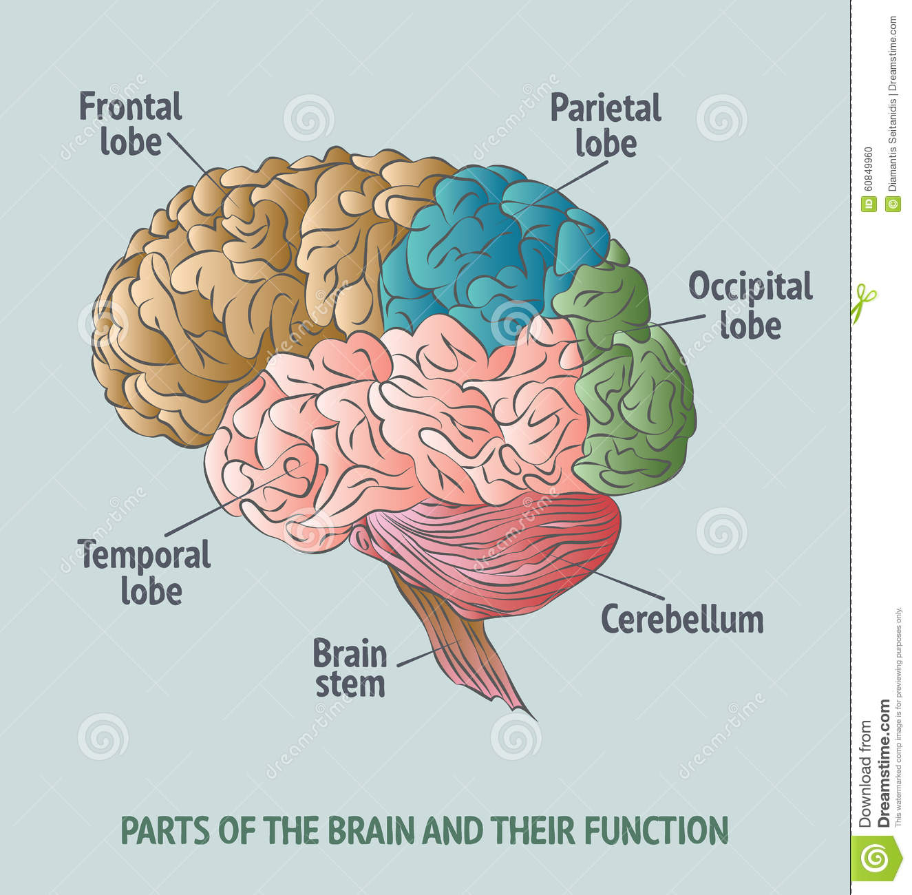 Parts Of The Human Brain Stock Vector