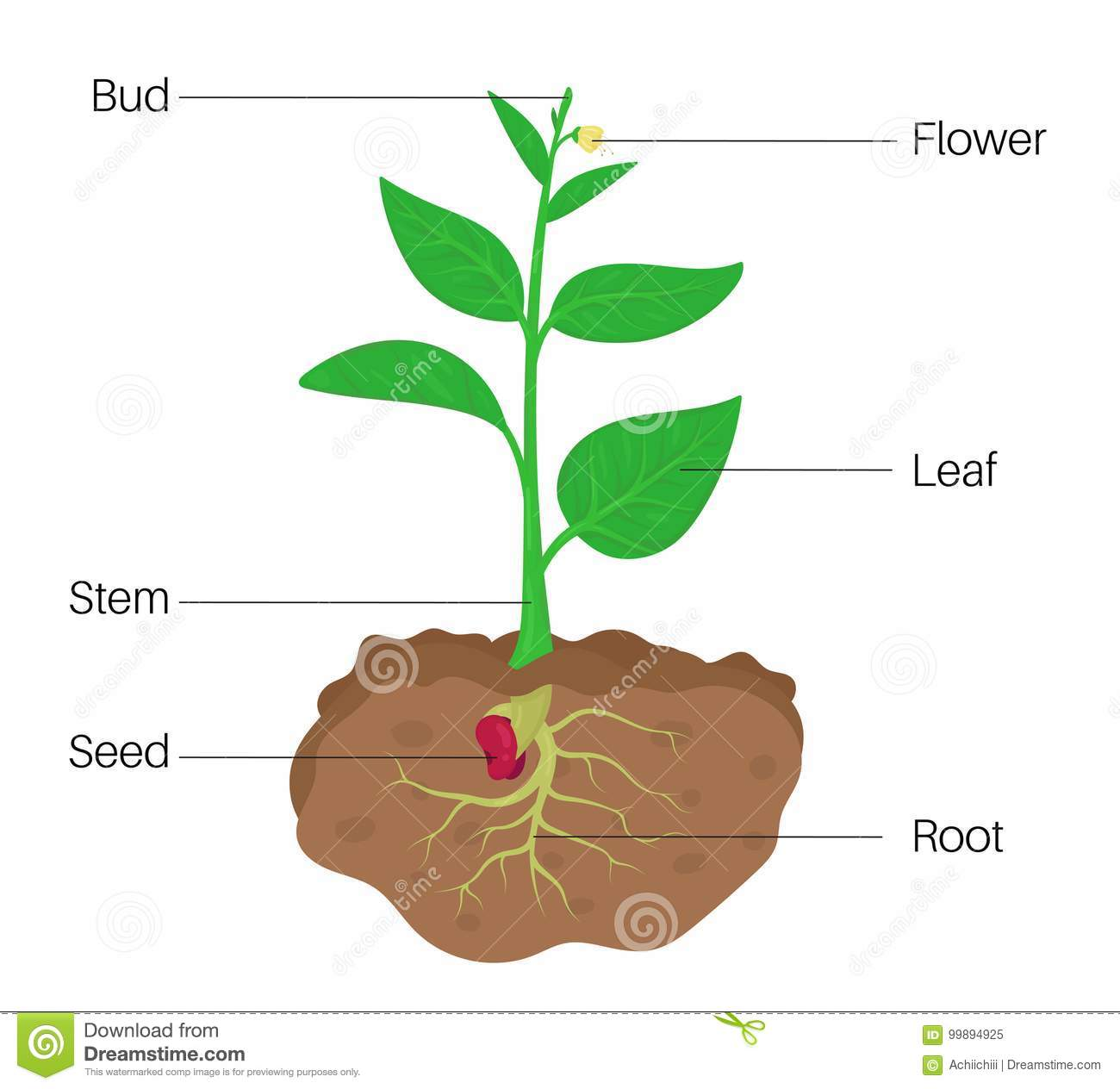 Parts Of Plant Diagram Stock Vector Illustration Of Seed