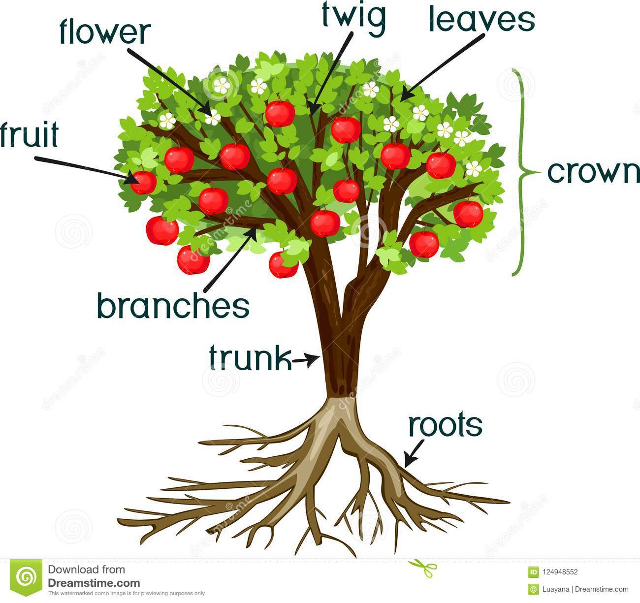 Parts Of Plant Morphology Of Apple Tree With Root System