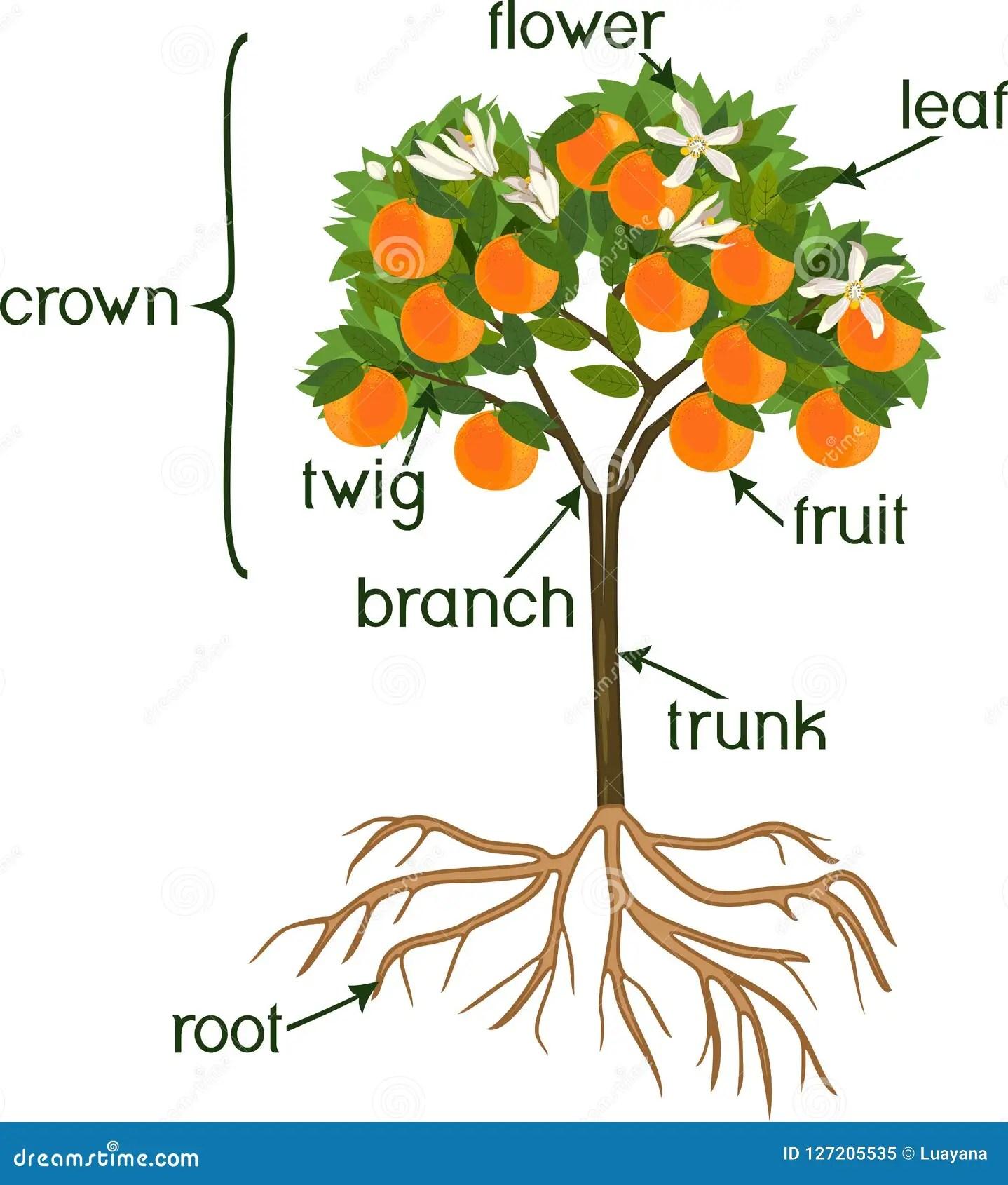 Parts Of Plant Morphology Of Orange Tree With Fruits
