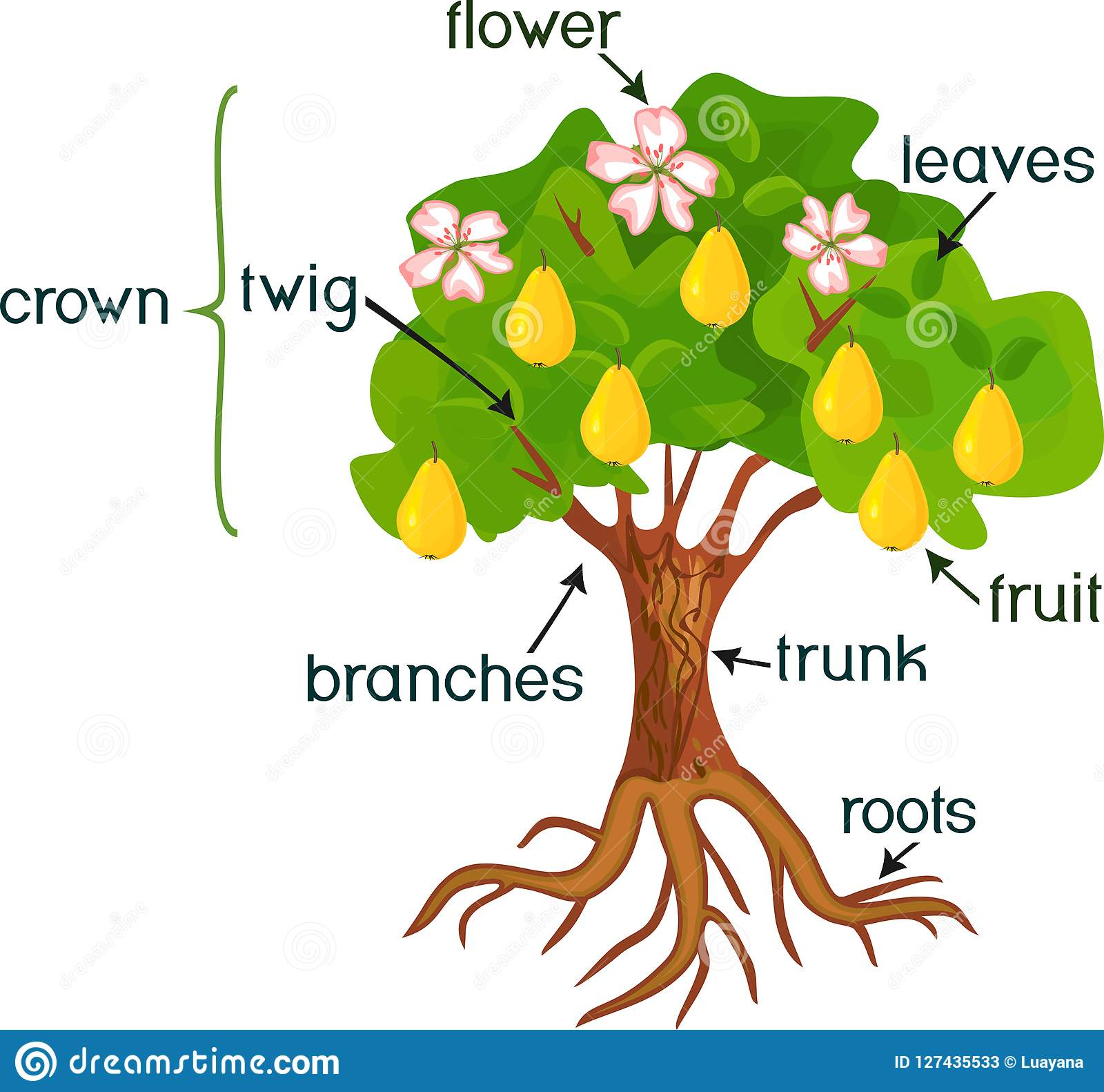 Parts Of Plant Morphology Of Pear Tree With Fruits