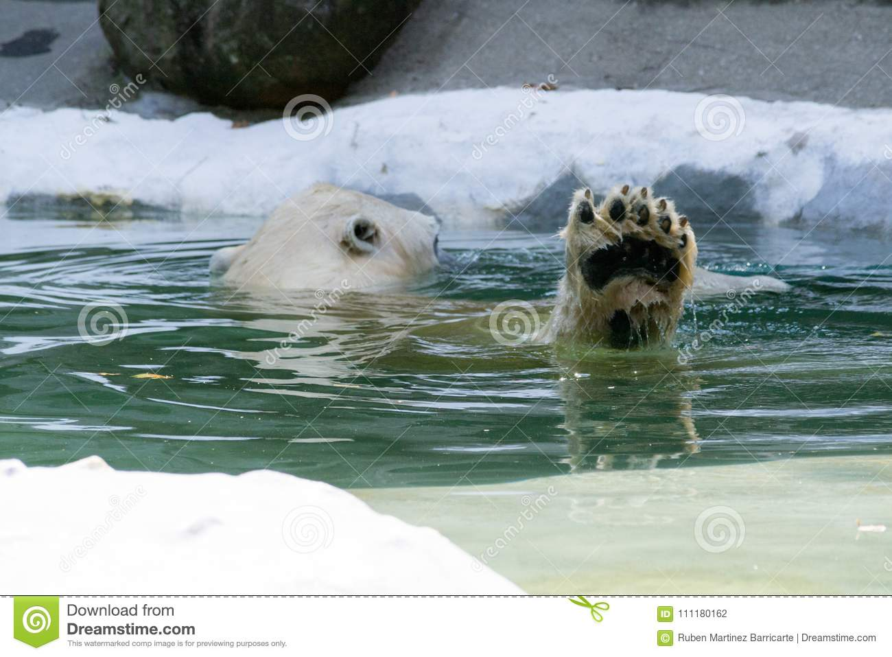 Paw Of A Polar Bear Stock Photo Image Of Fearsome Iucn