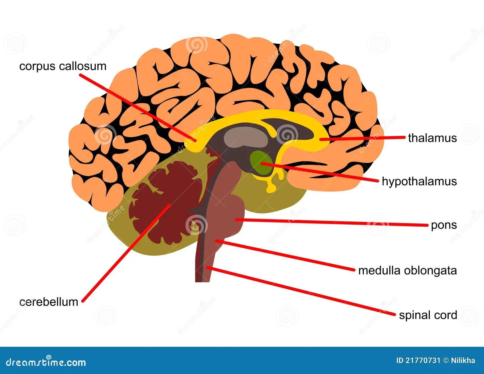 Pecas Do Cerebro Na Vista Lateral Ilustracao Stock