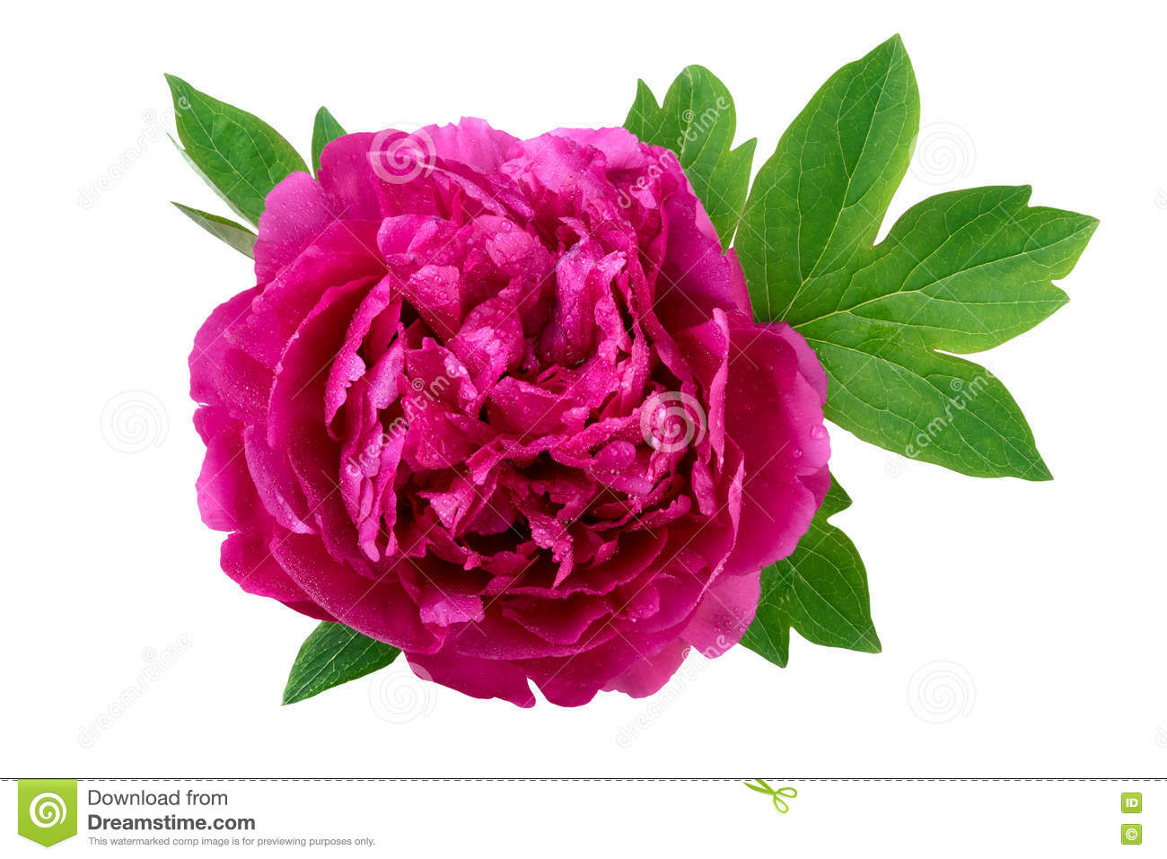 Peony Flower With Leaves Closeup Stock Photo   Image of spring  over     Download comp