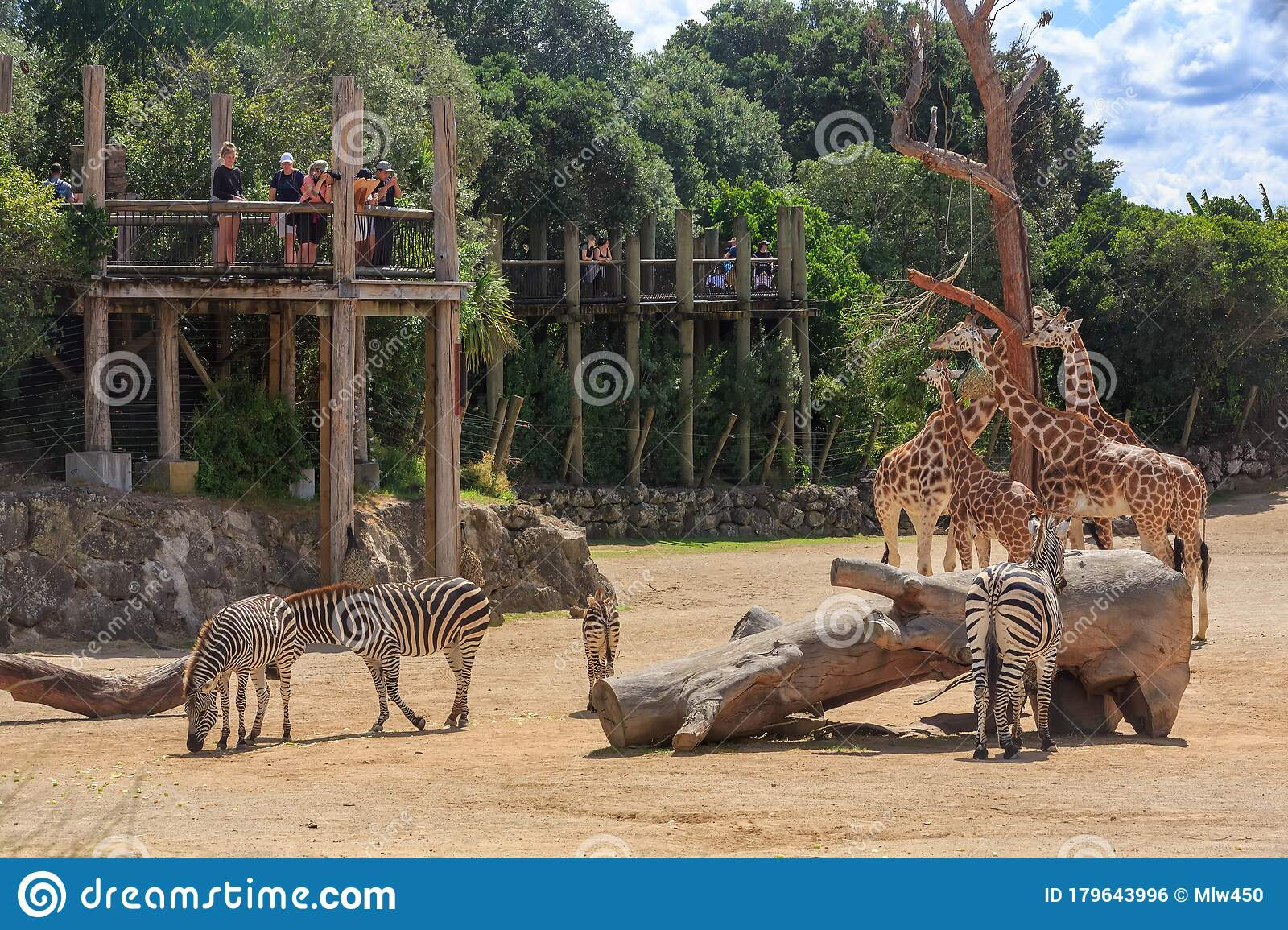 People Looking At Giraffes And Zebras Auckland Zoo New