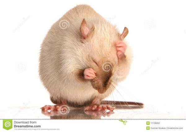 Pet Rat Grooming stock photo Image of fluffy tale