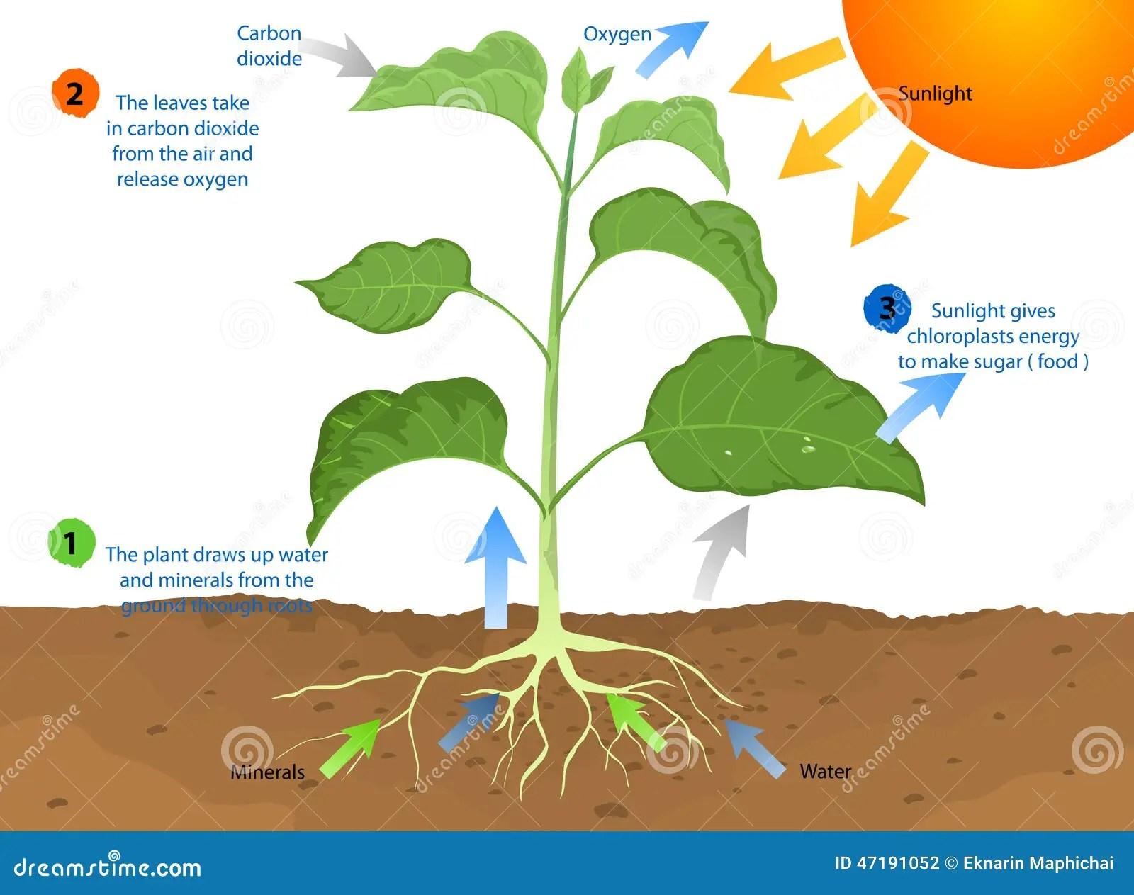 Photosynthesis Stock Illustration Illustration Of