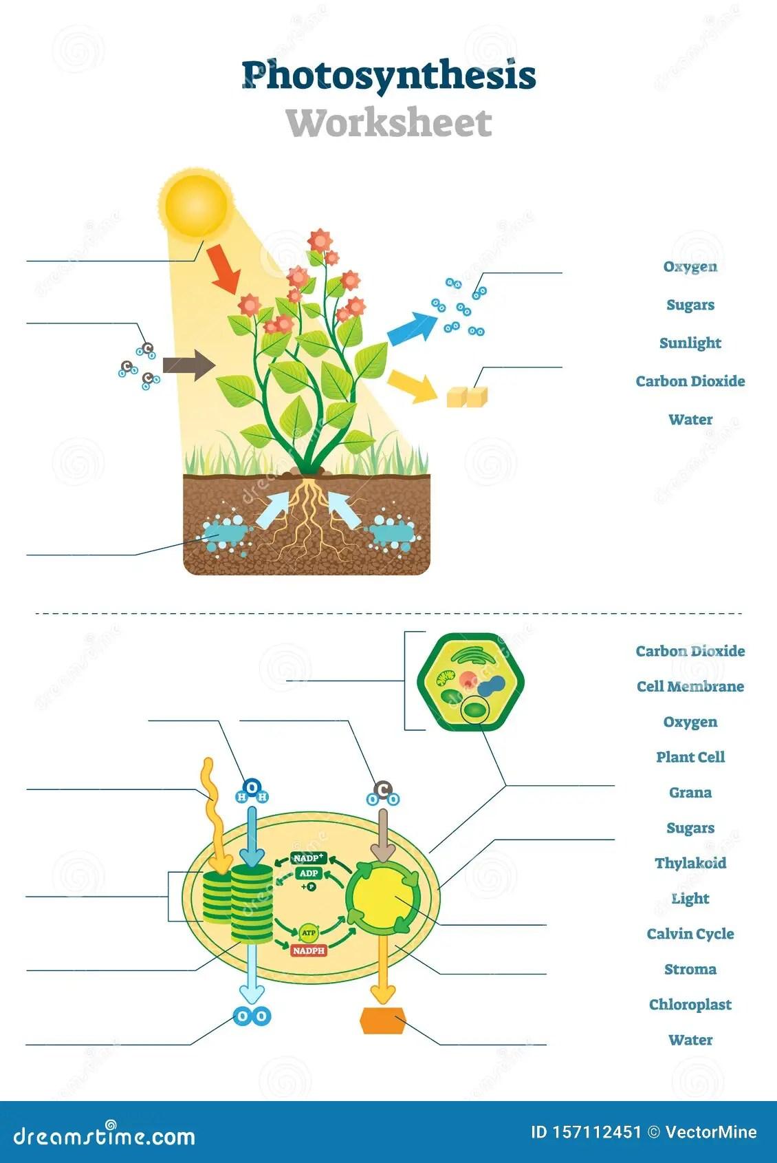Photosynthesis Worksheet Vector Illustration Blank Oxygen