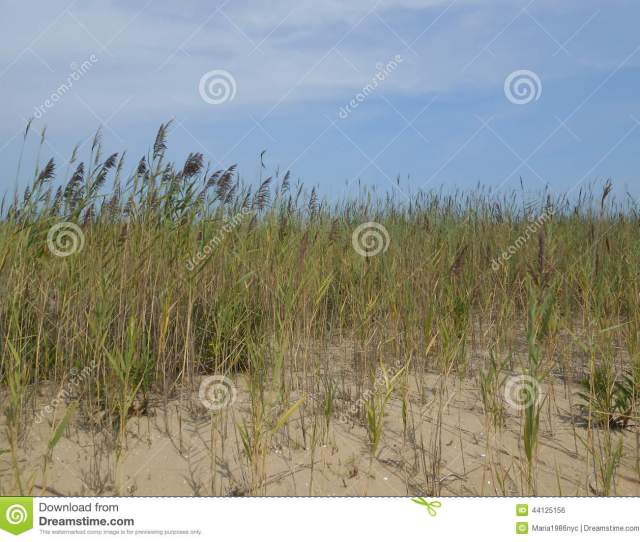 Phragmites Grass On Gunnison Beach