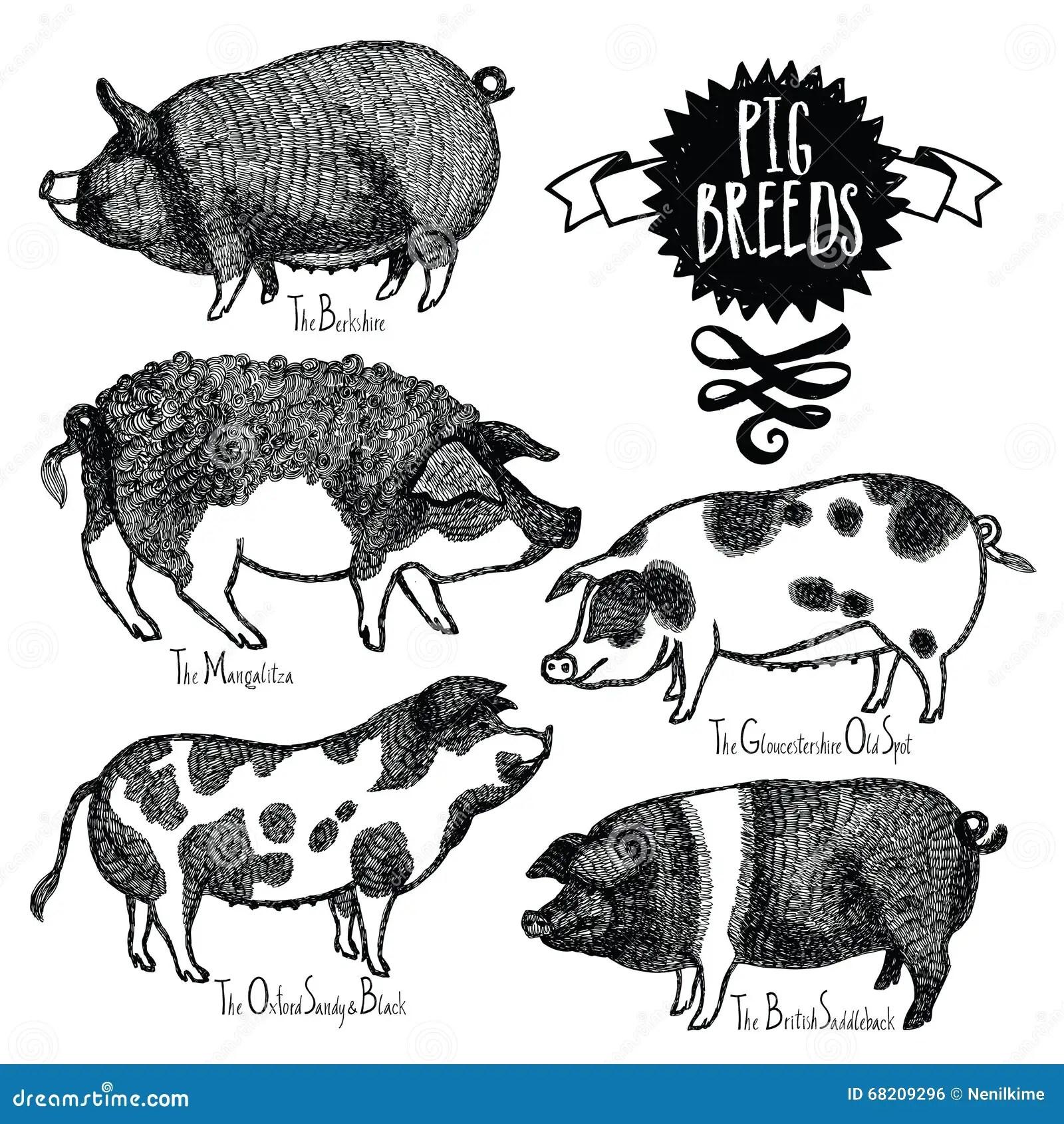 Pig Breeds Vector Illustration Sketch Style Hand Drawn