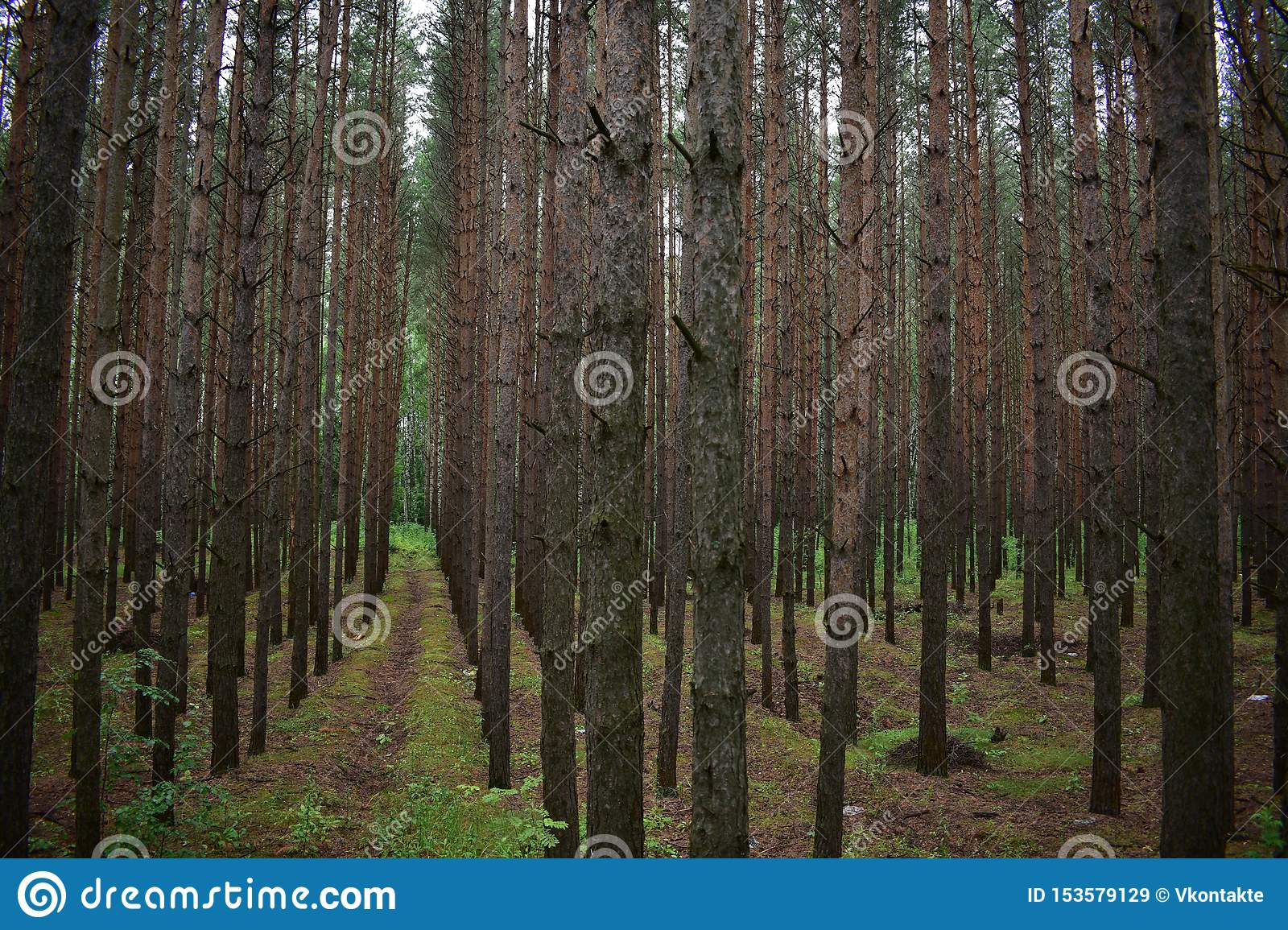 There is a great variety of crown forms in forest trees, giving aesthetic value and utility as forest products. Pine Forest Is The Lightest Of All Types Of Forests Stock Image Image Of Scientific Lightest 153579129