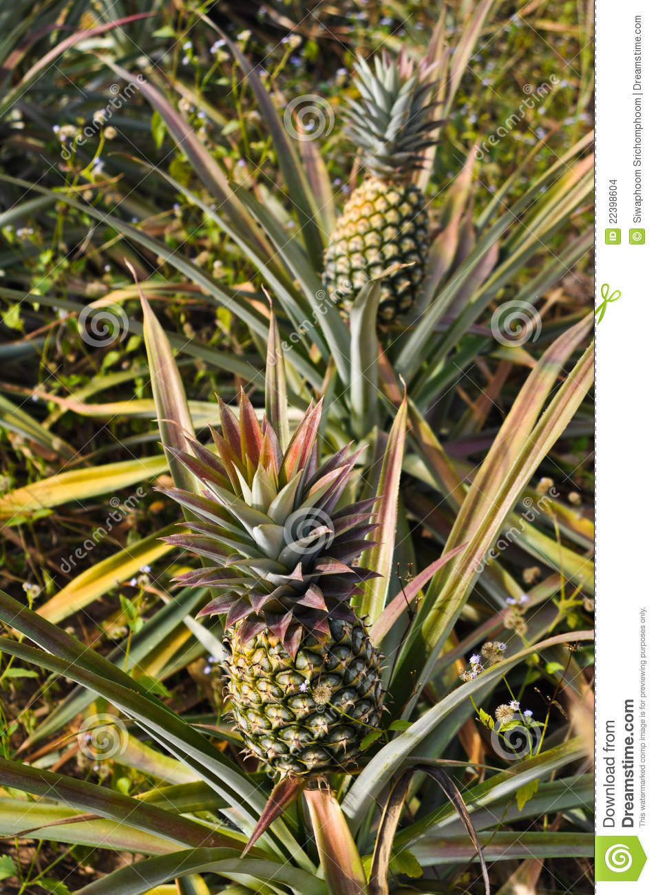 Pineapple Tree Stock Photo Image Of Nature Exotic Clear 22398604
