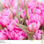 Pink Parrot Tulips Bouquet Close Up Stock Image Image Of Close White 112040431