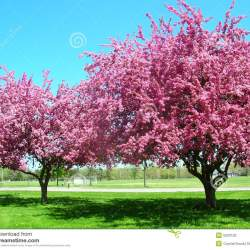 Bright pink flowers on tree gardening flower and vegetables pink trees in bloom stock photo image of flowers springtime mightylinksfo