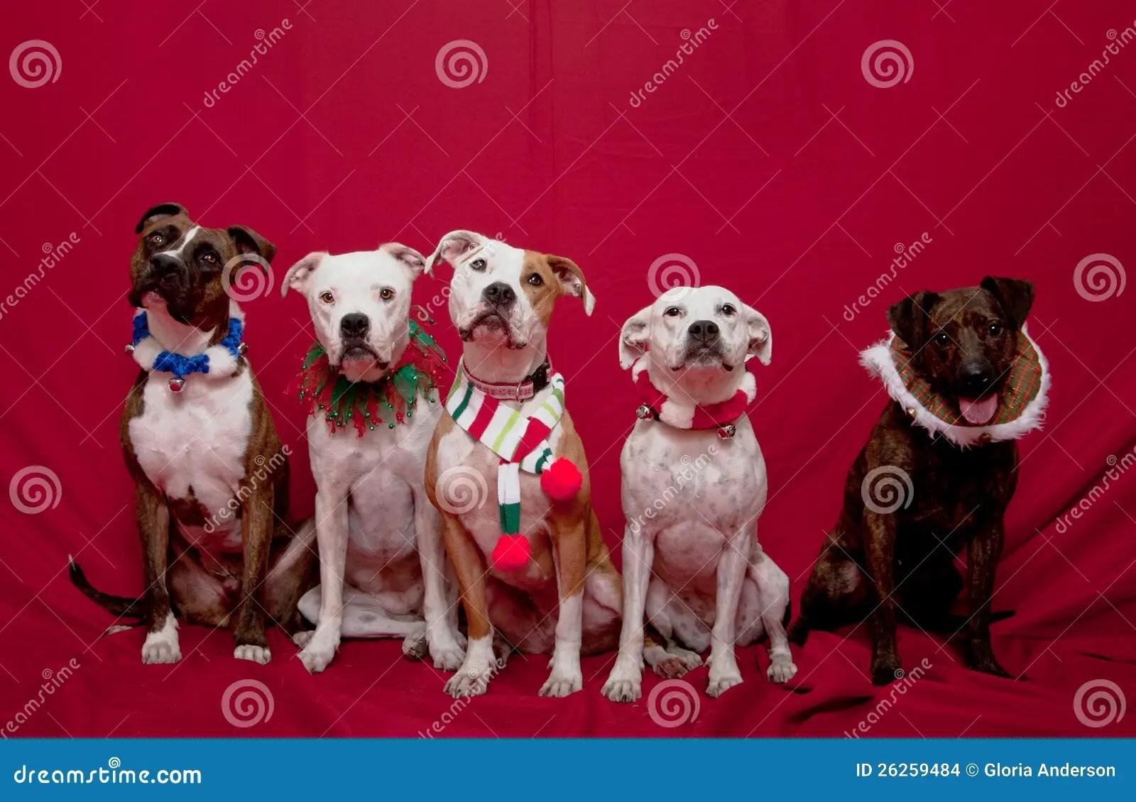 Pitbull Family Christmas Portrait Stock Photo Image