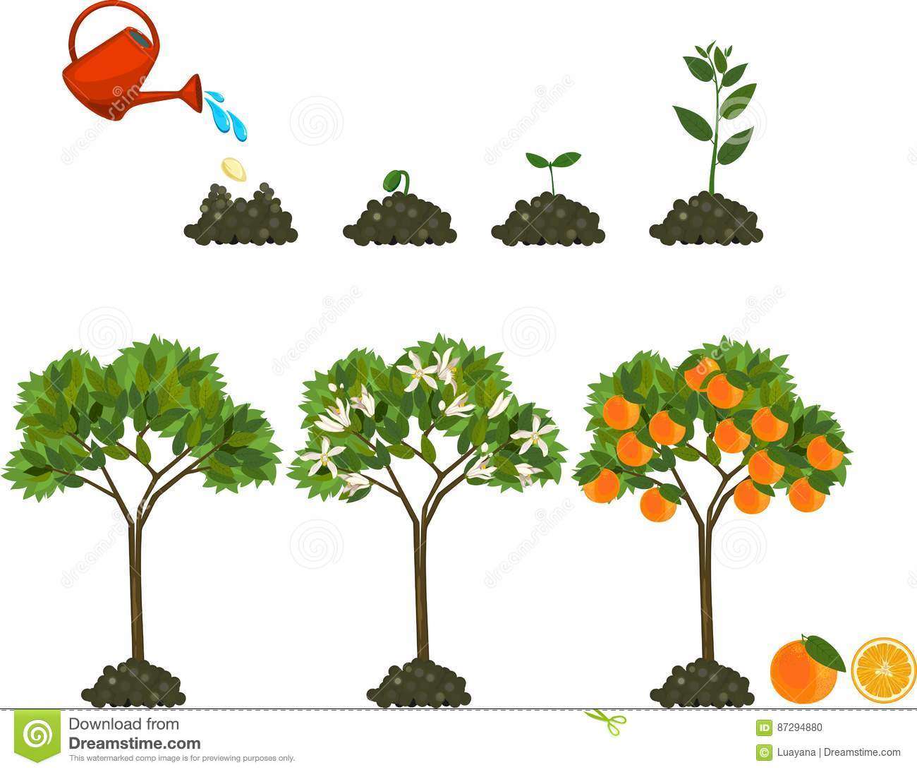 Orange Tree Life Cycle Pictures To Pin