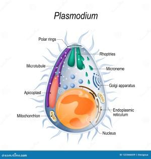 Diagram Of Plasmodium Merozoites Structure Stock Vector