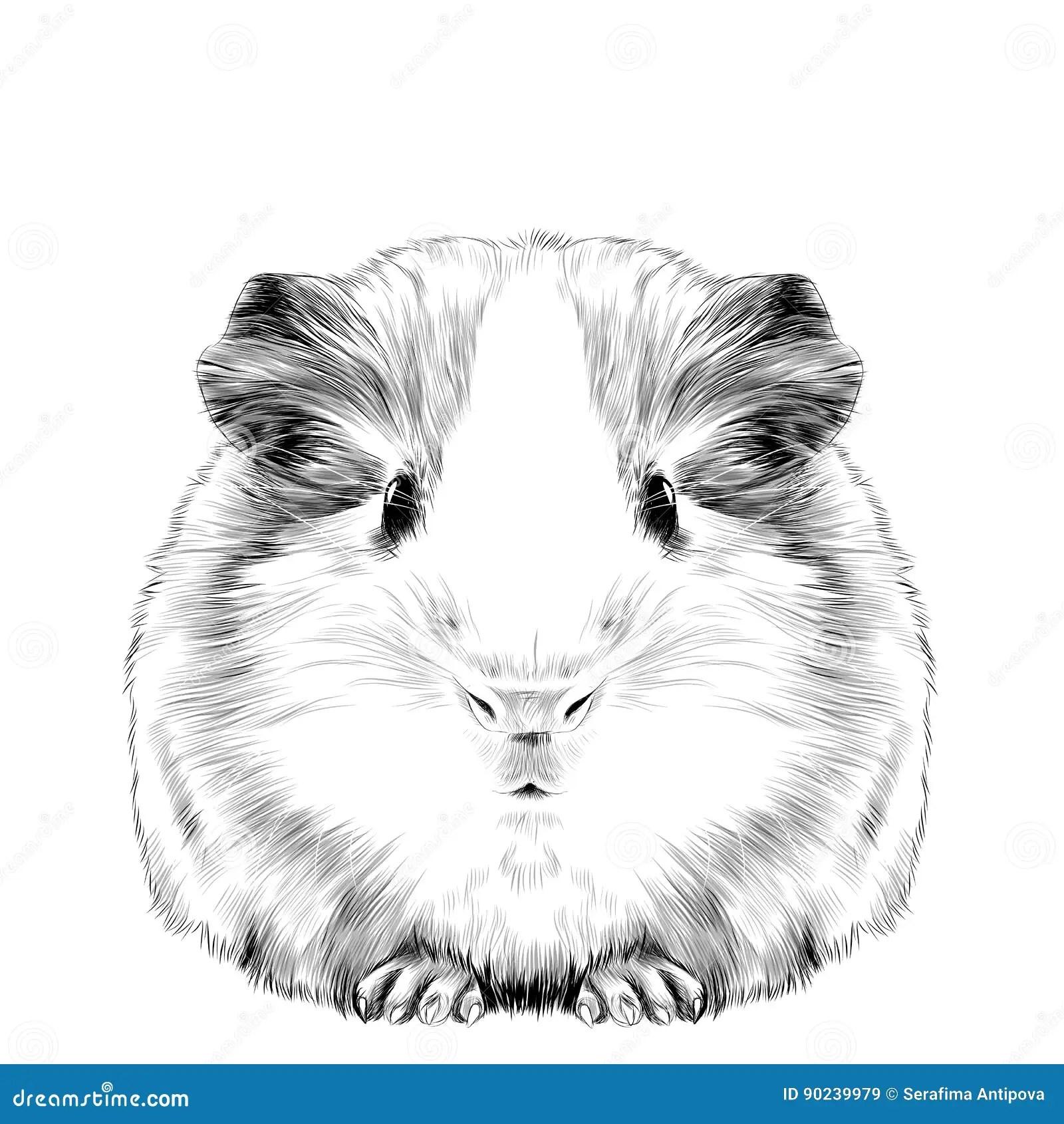 Plump Cute Guinea Pig Stock Vector Illustration Of Nature