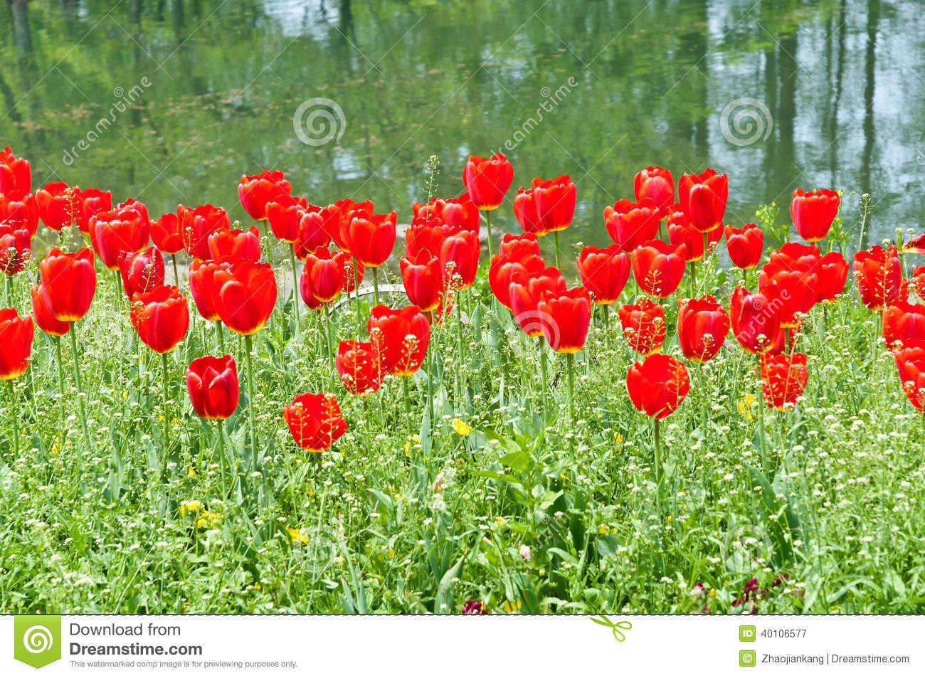 Pond Beside Blooming Tulips Stock Photo