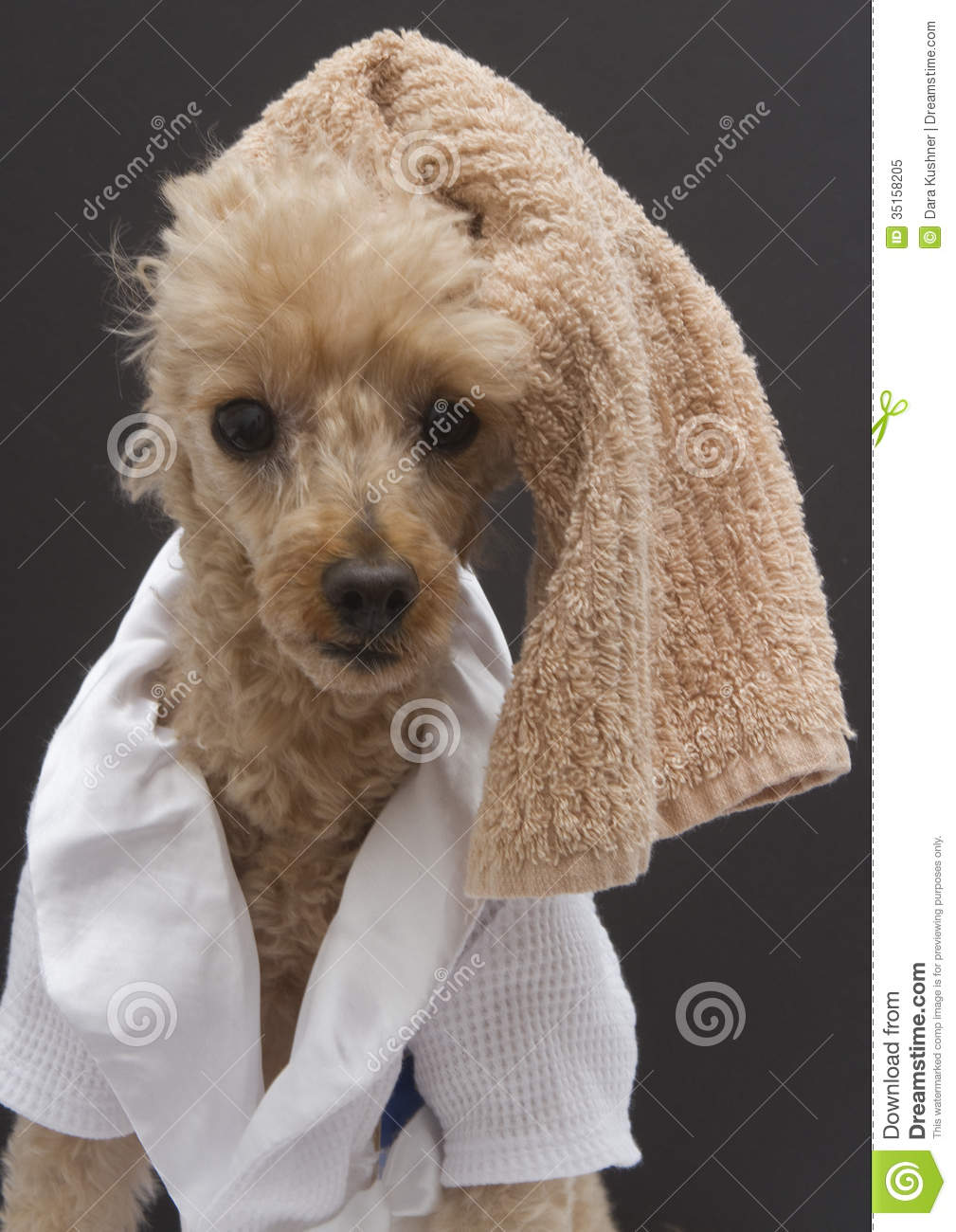 Poodle With Towel On Head Royalty Free Stock Photo Image