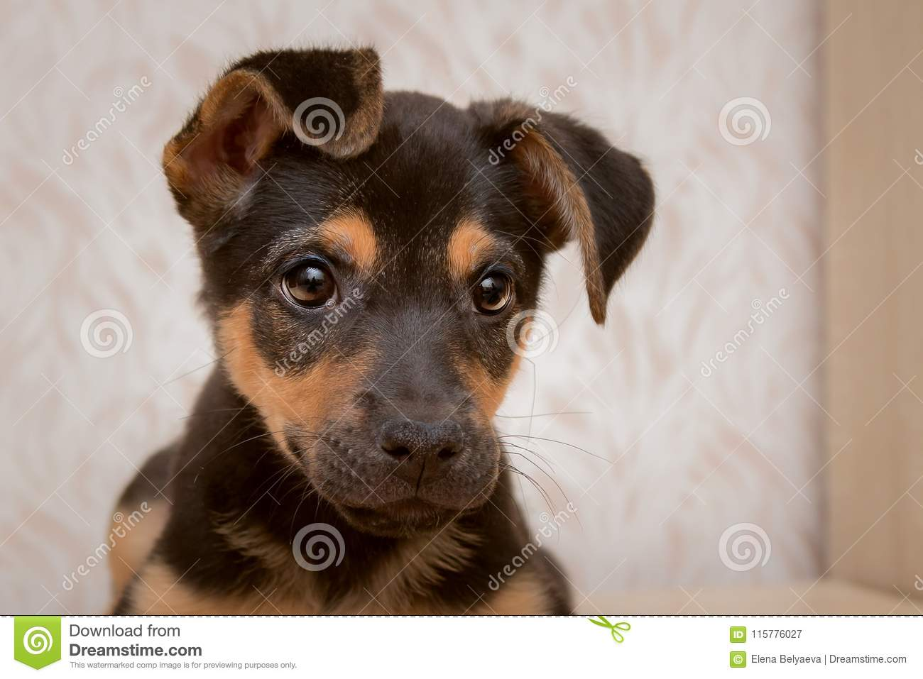 Portrait Of A Cute Puppy Of Small Breed Stock Image Image Of Mammal Brute 115776027